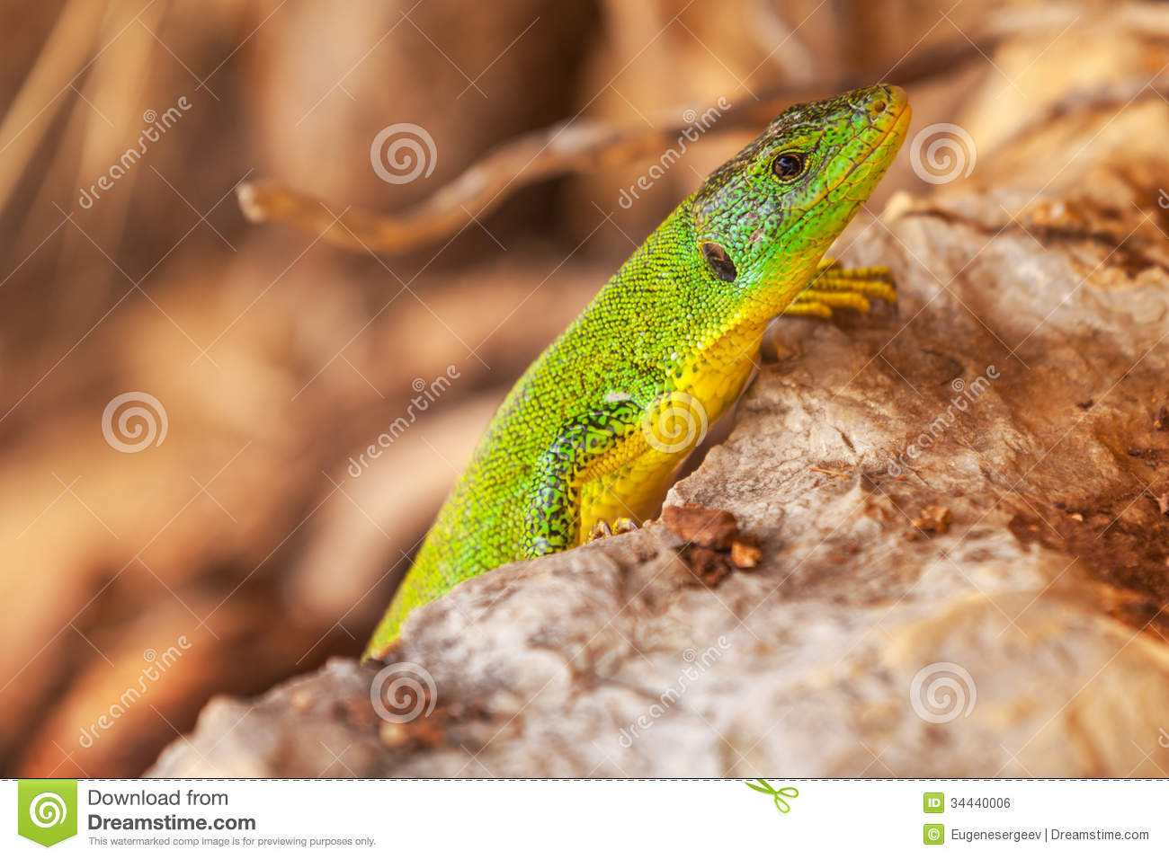 Green lizard sits on dry stones