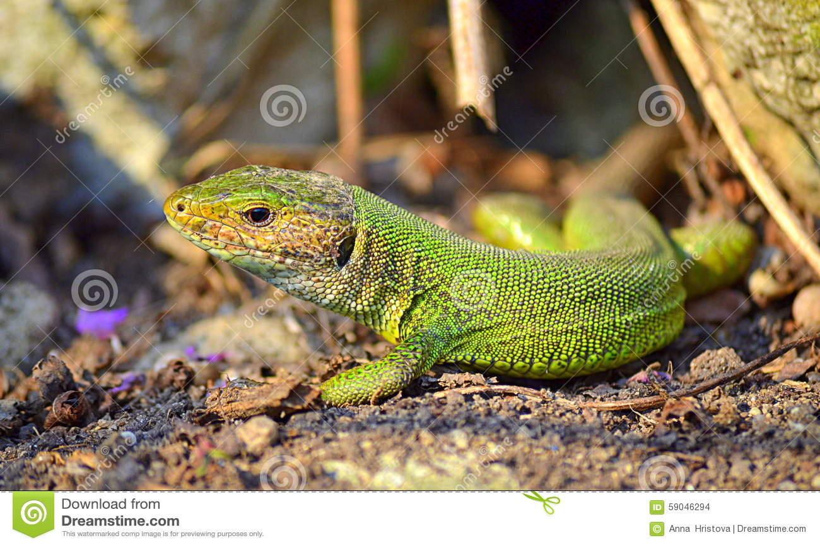 Green lizard in the sun