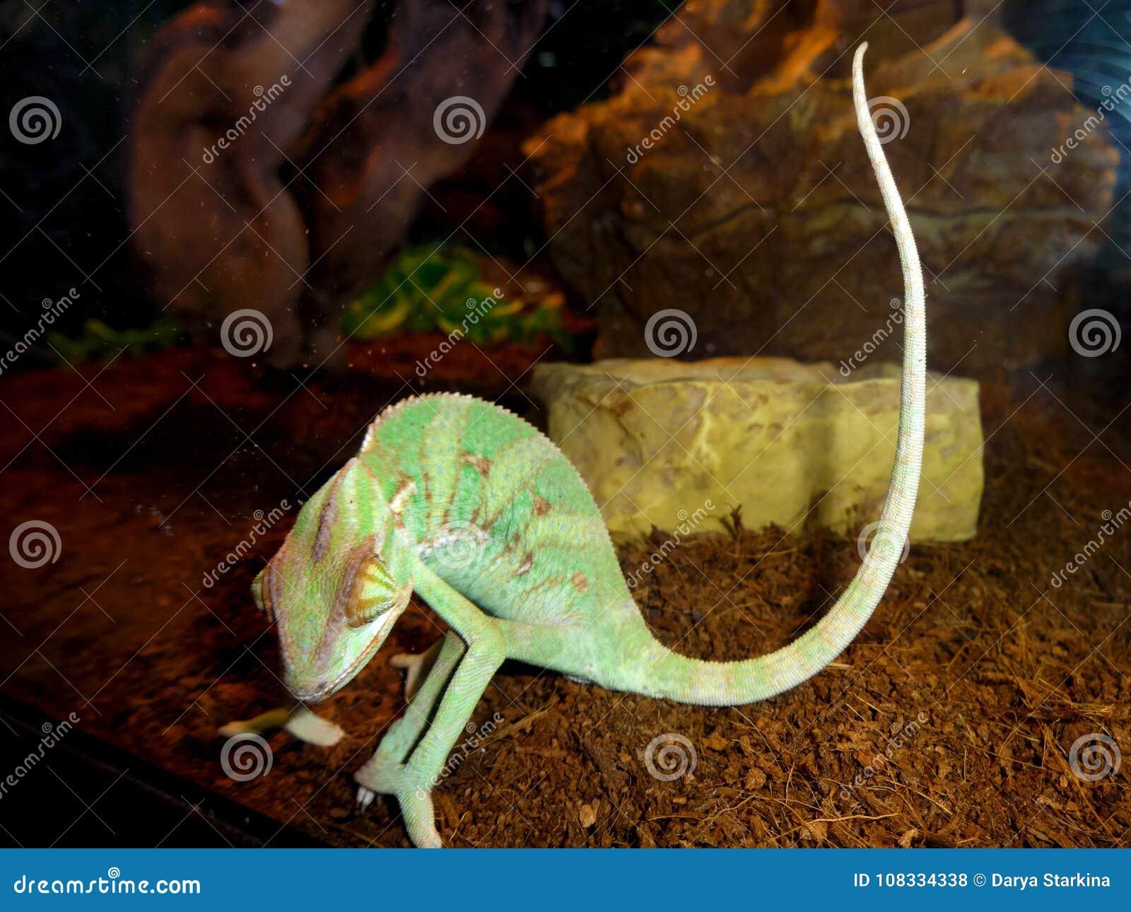 Green Lizard In The Terrarium Stock Photo Image Of Green