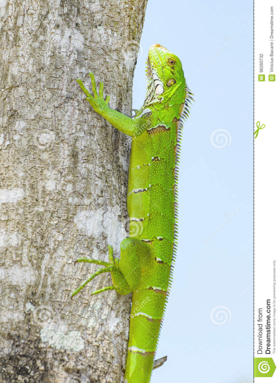 Green lizard on a tree trunk, known as Iguana.