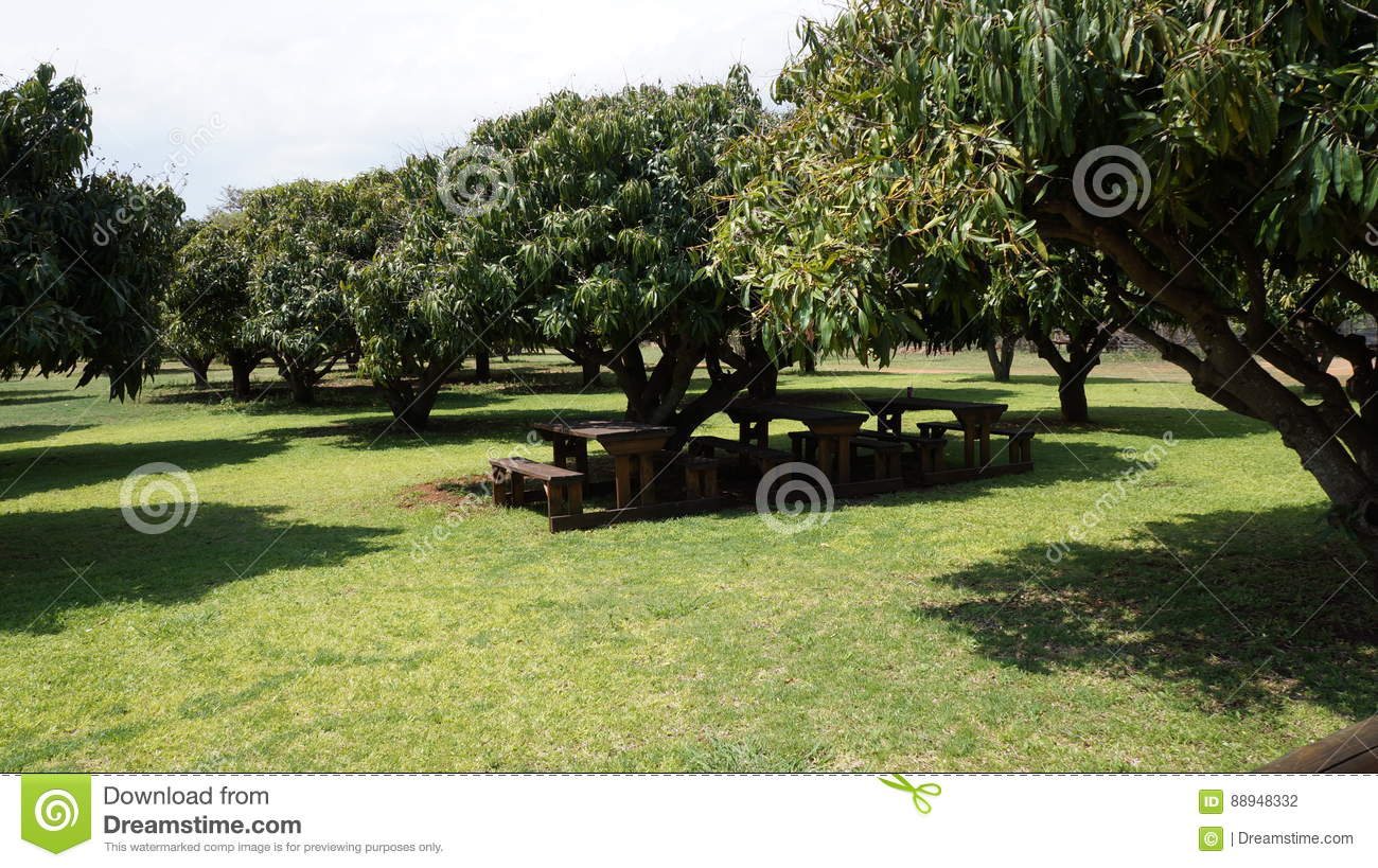 Incredible Green Mango Trees And Under Them Wooden Benches And A Table Beatyapartments Chair Design Images Beatyapartmentscom