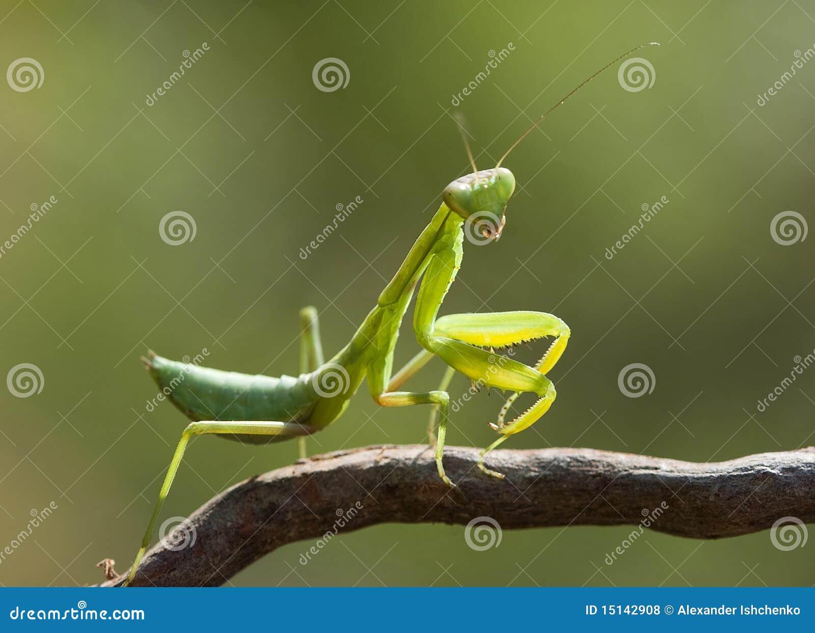 Green mantis.