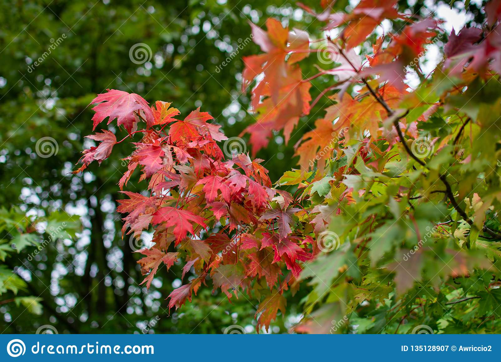 Green Maple Leaves Turning Red Stock Image Image Of Green Woods