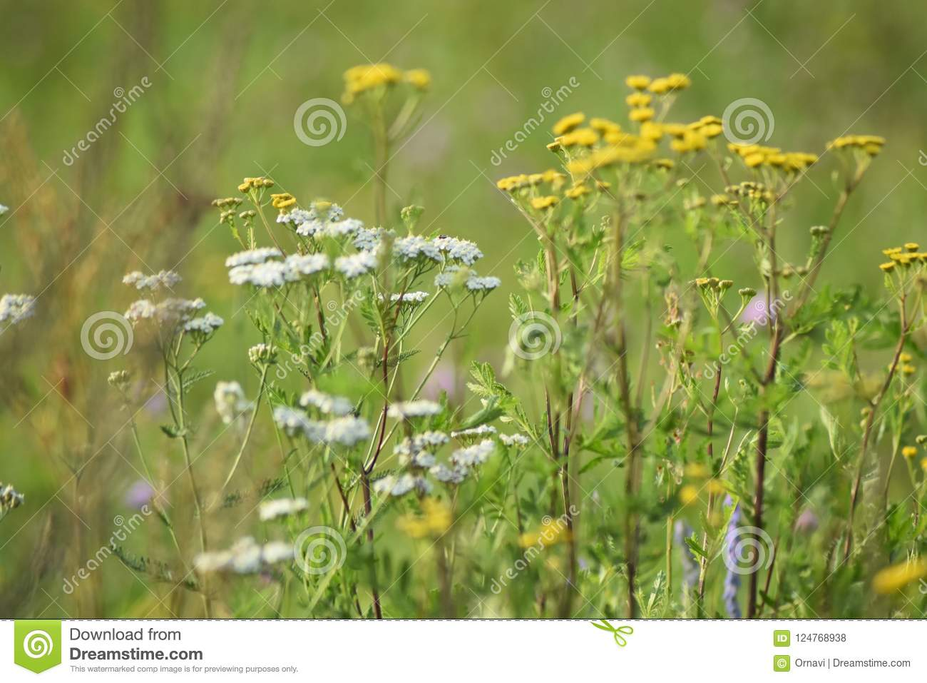 Green meadow width yellow and white flowers. The rays of the sun brighten the meadow.