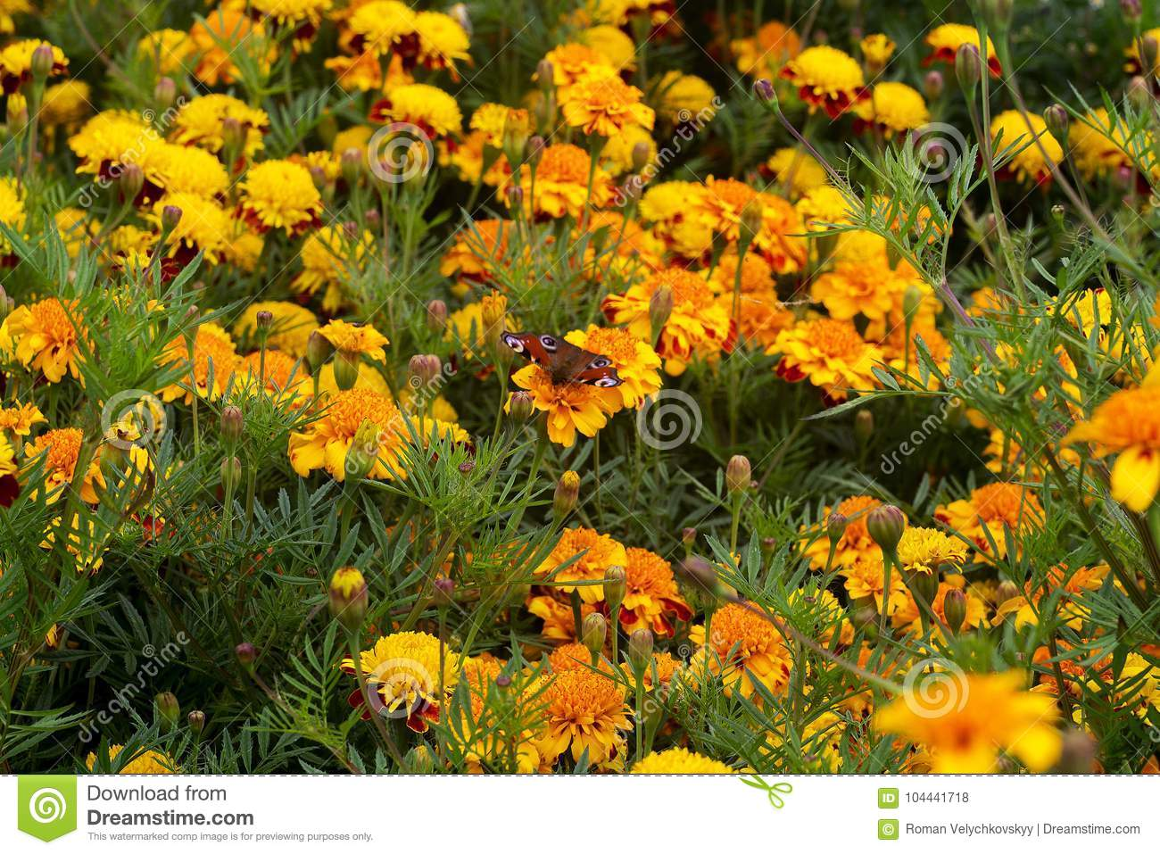 Green meadow with yellow flowers stock photo image of stems download green meadow with yellow flowers stock photo image of stems thickly 104441718 mightylinksfo