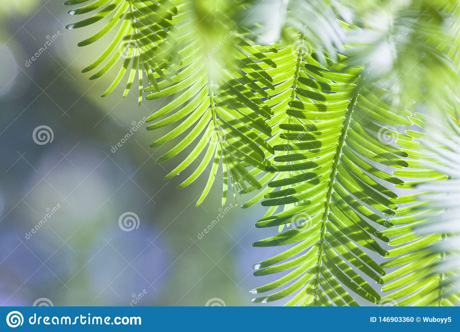 Green metasequoia spring green leaves
