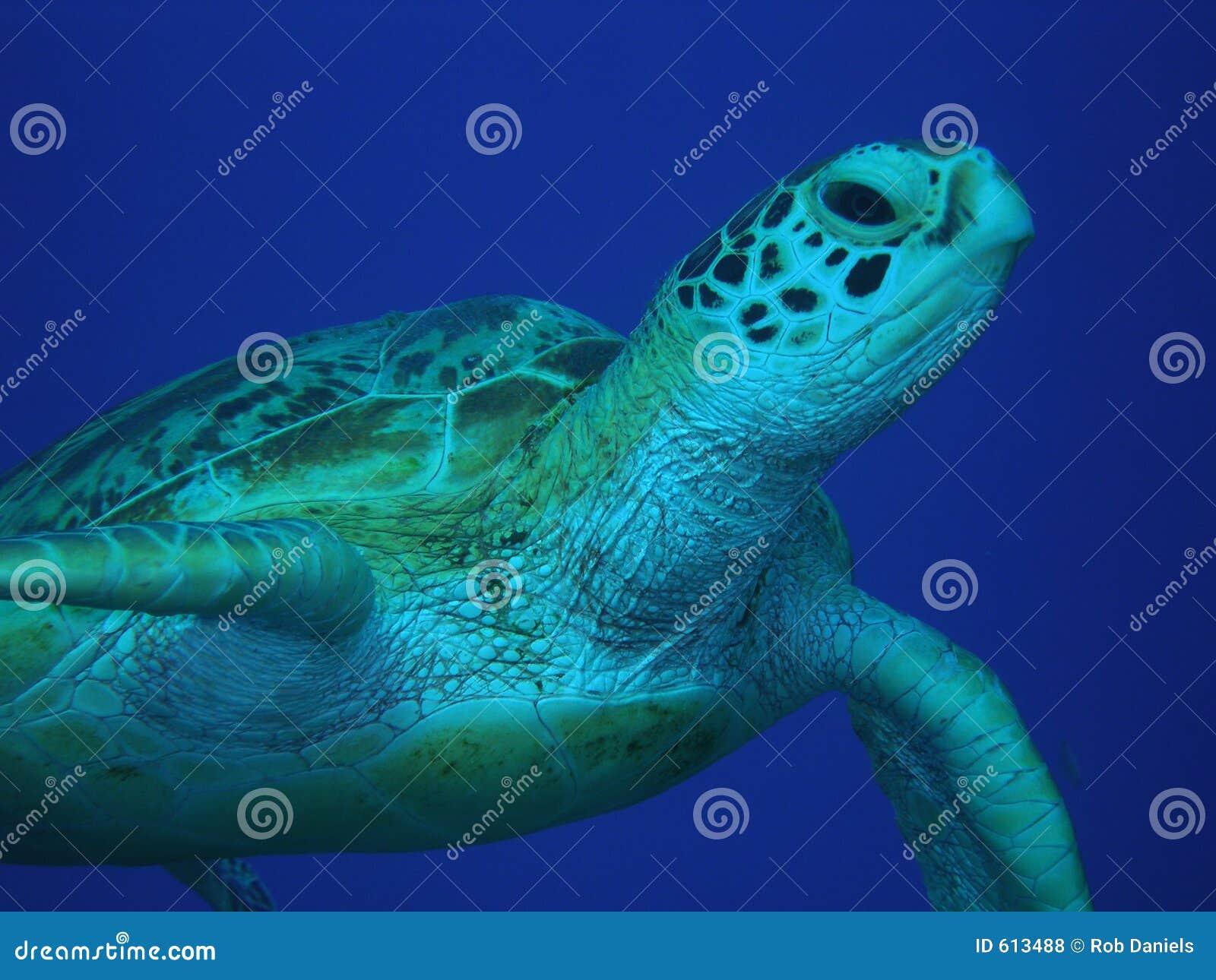 Green mitt- havssköldpaddavatten