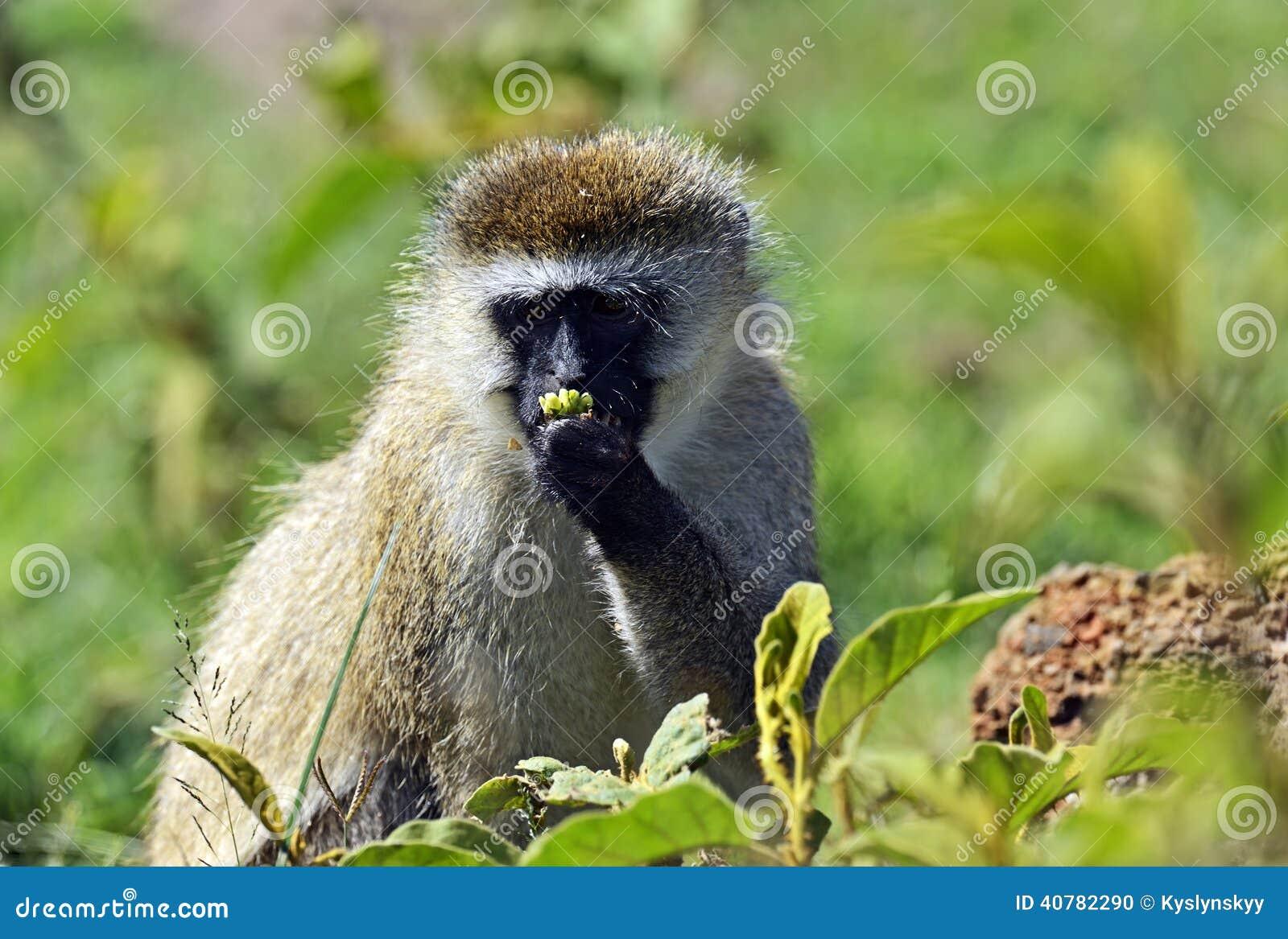 Vervet monkey - Wikipedia