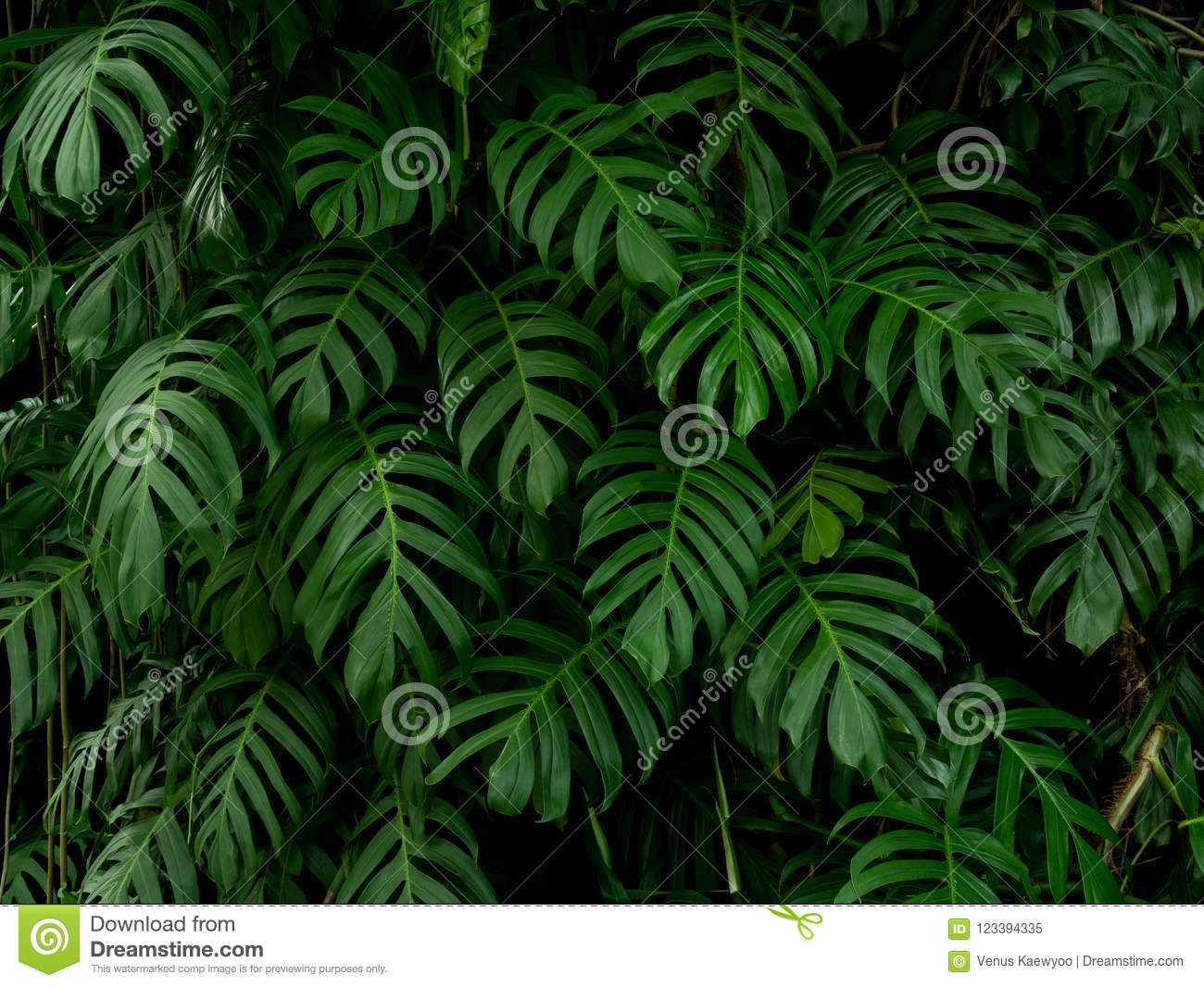 Green monstera philodendron tropical plant leaves vine background, backdrop