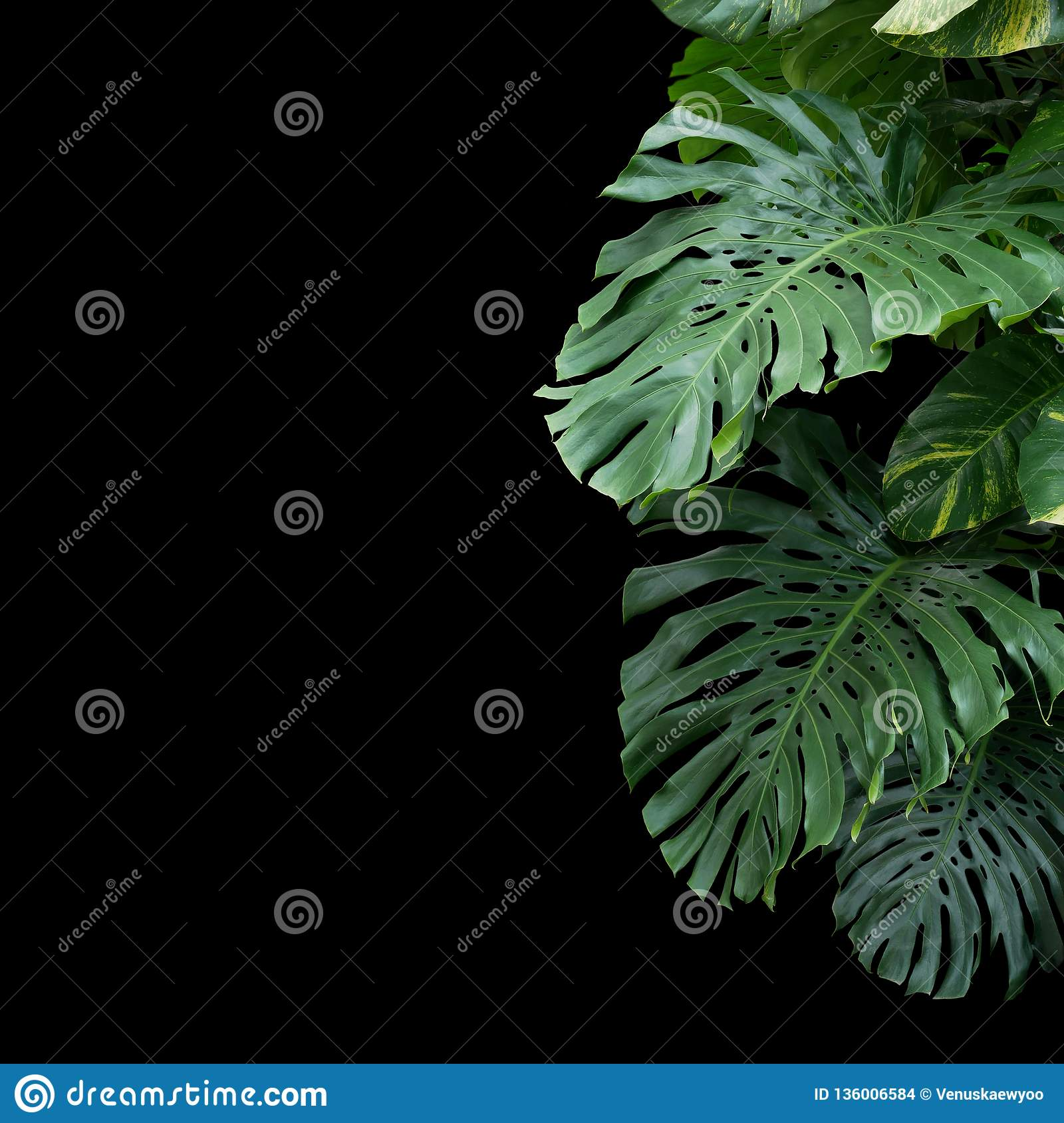 Green monstera philodendron tropical plant leaves vine on black background with copy space