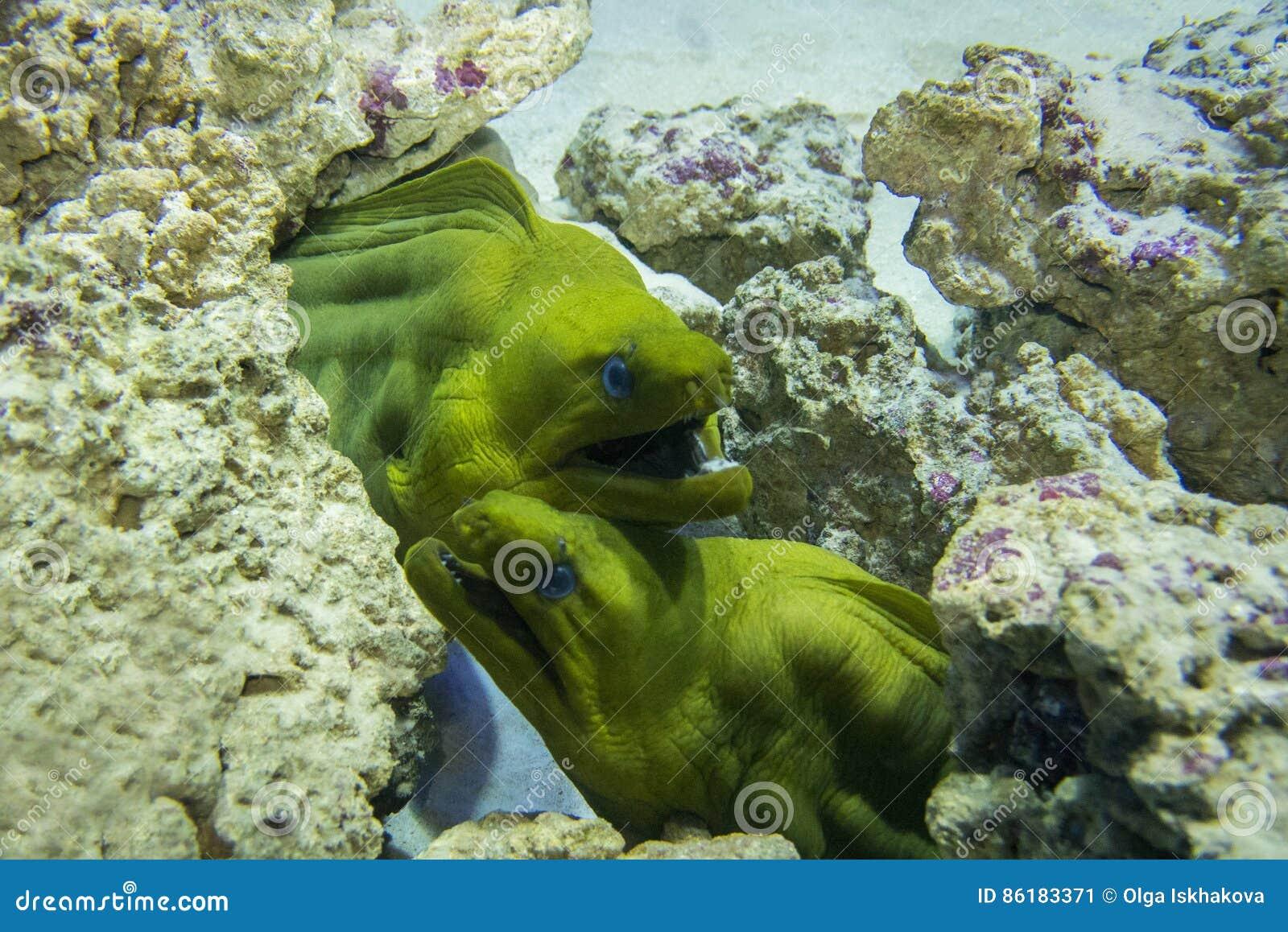Green Moray Gymnothorax funebris