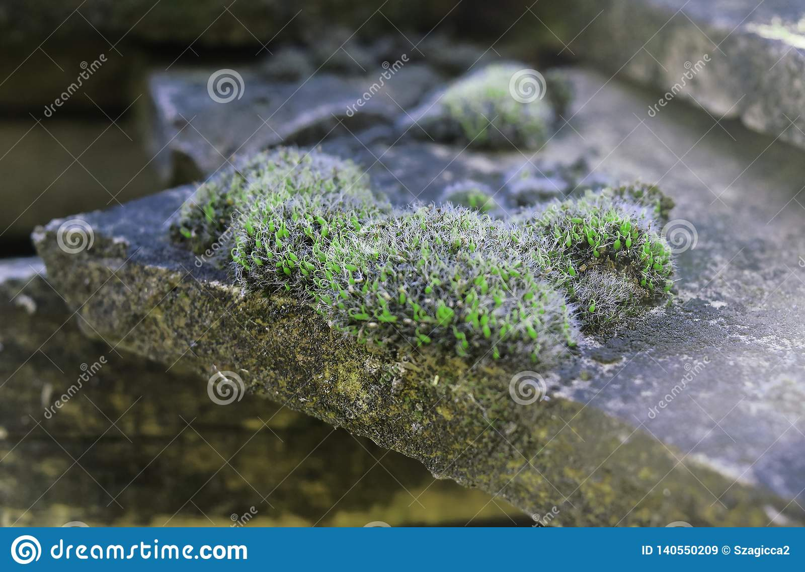 Green Moss on a antique, old tiled roof. Macro, shallow focus view of wet moss seen growing on roof tiling.