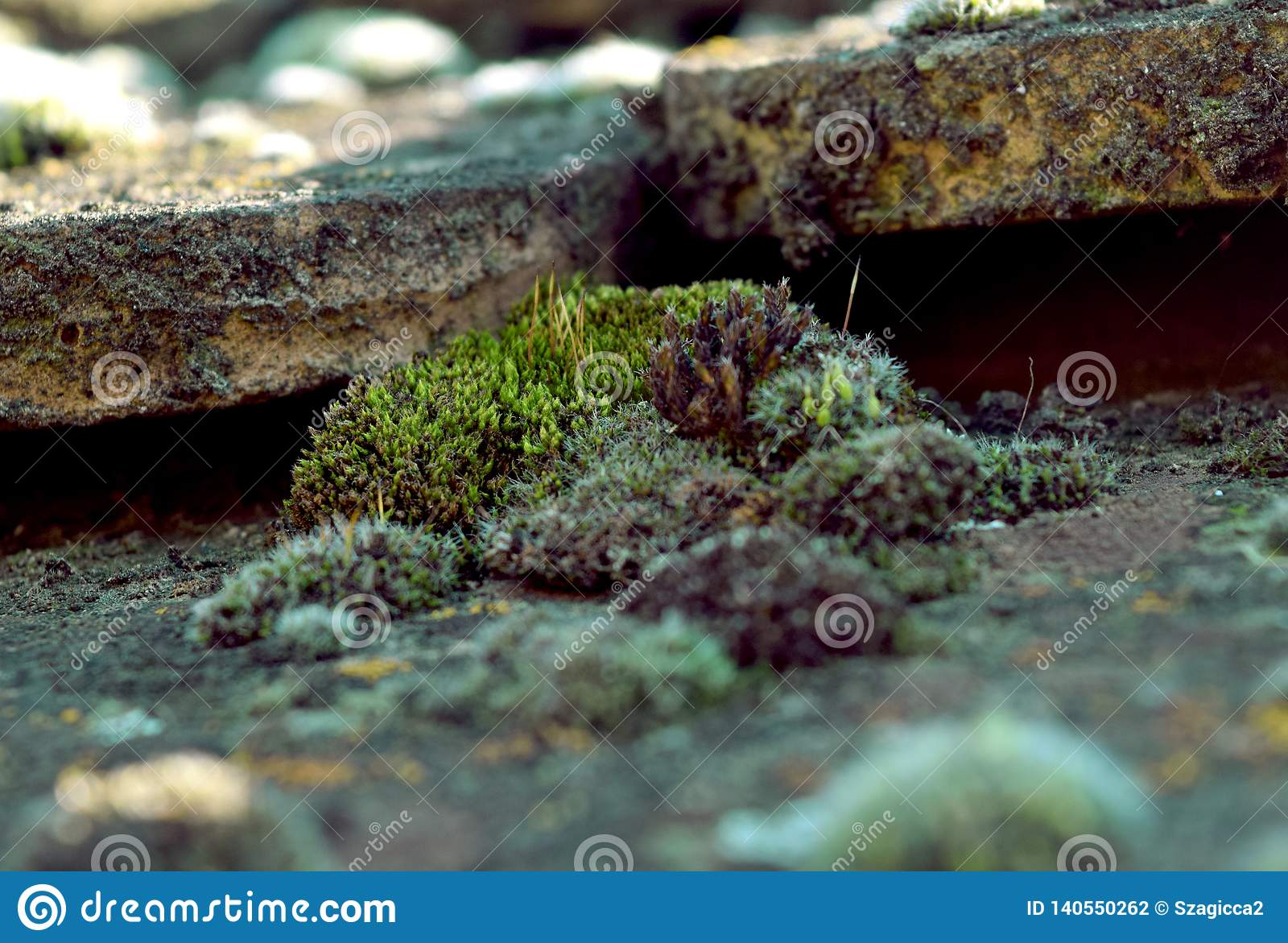 Green Moss on a antique, old tiled roof. Spring