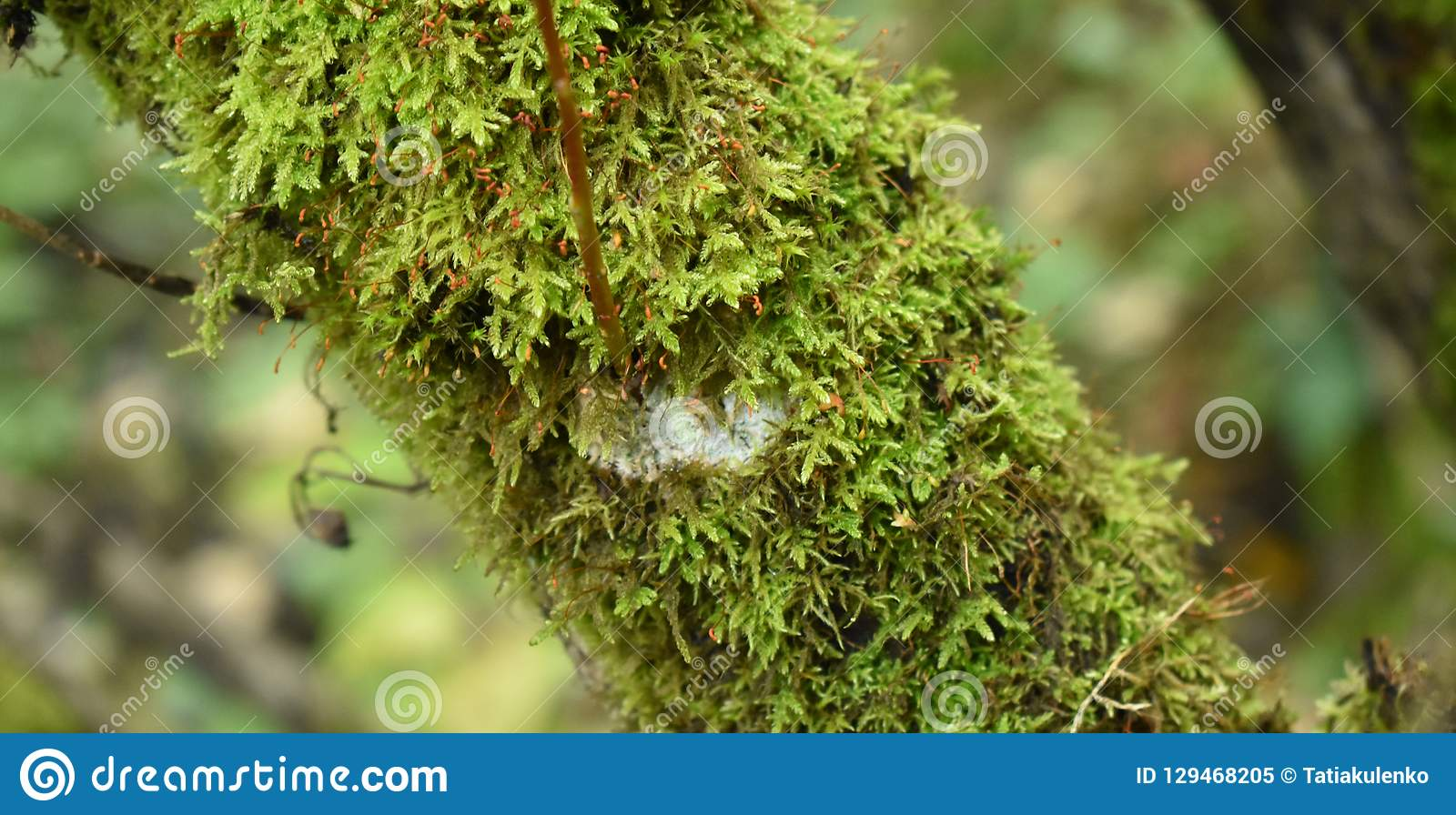 Green moss on the tree. Biology and plants in the forest