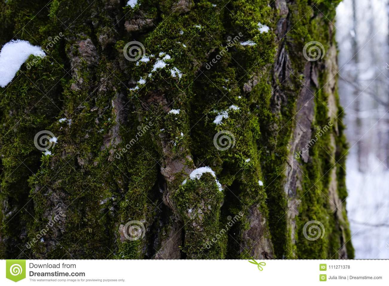 green moss tree trunk close-up forest snow winter