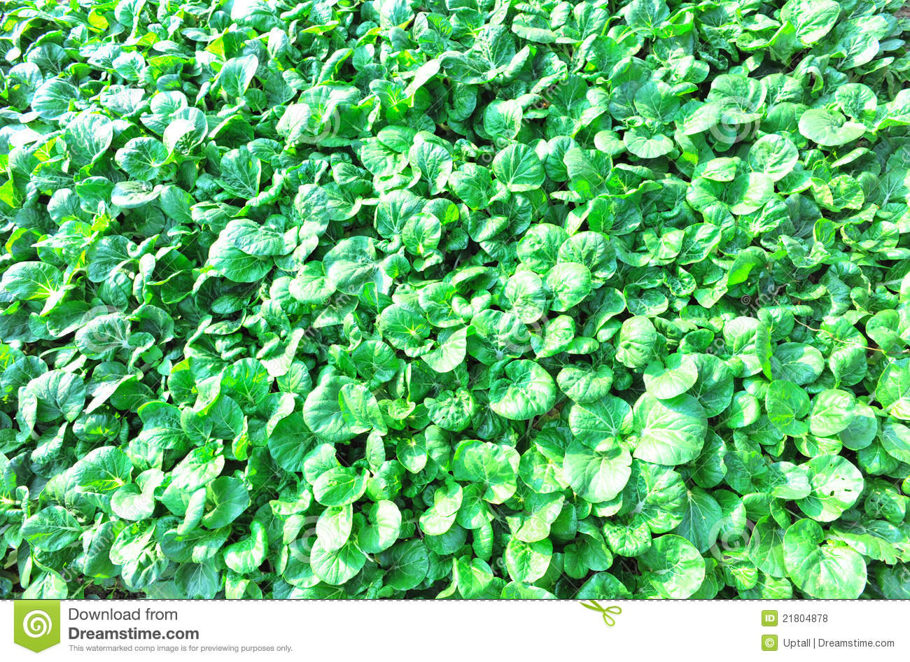 Download Green mustard field stock photo. Image of density, little - 21804878