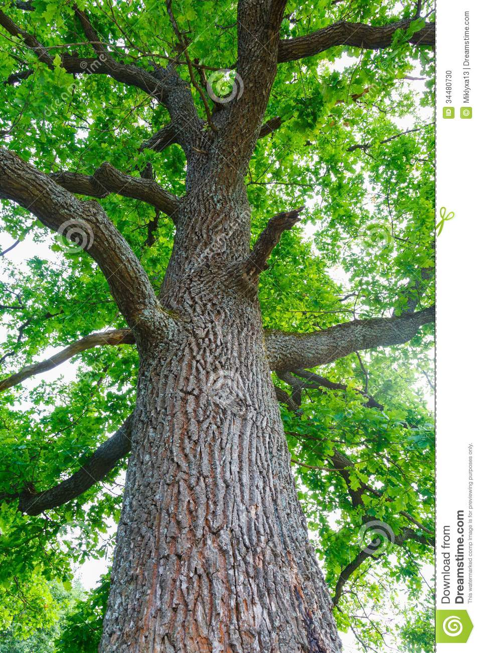 Green Oak Tree Stock Photo Image 34480730