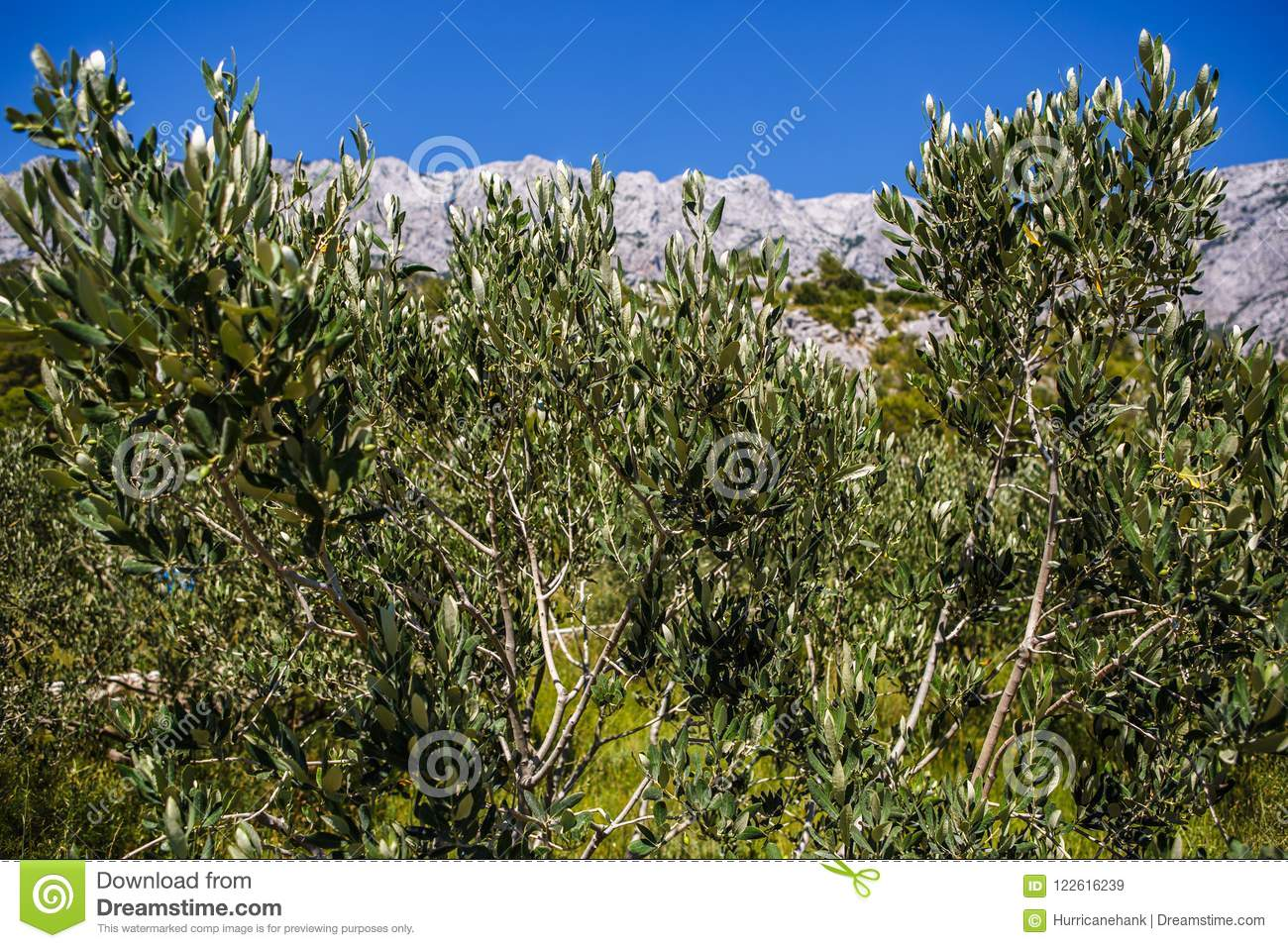 Green Olives Grow In Garden Stock Image - Image of countryside ...