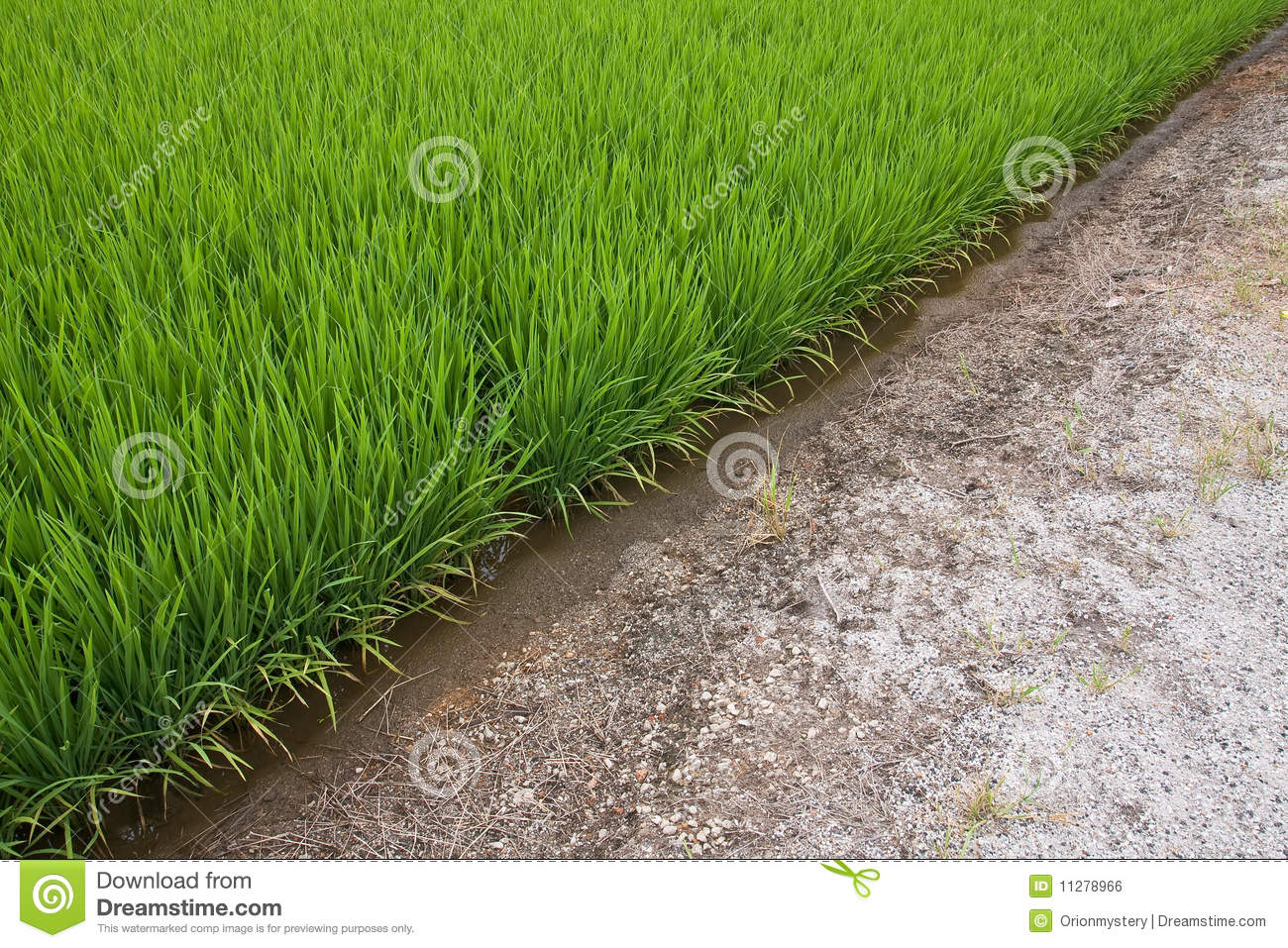 A green paddy field and soil royalty free stock image for Soil and green