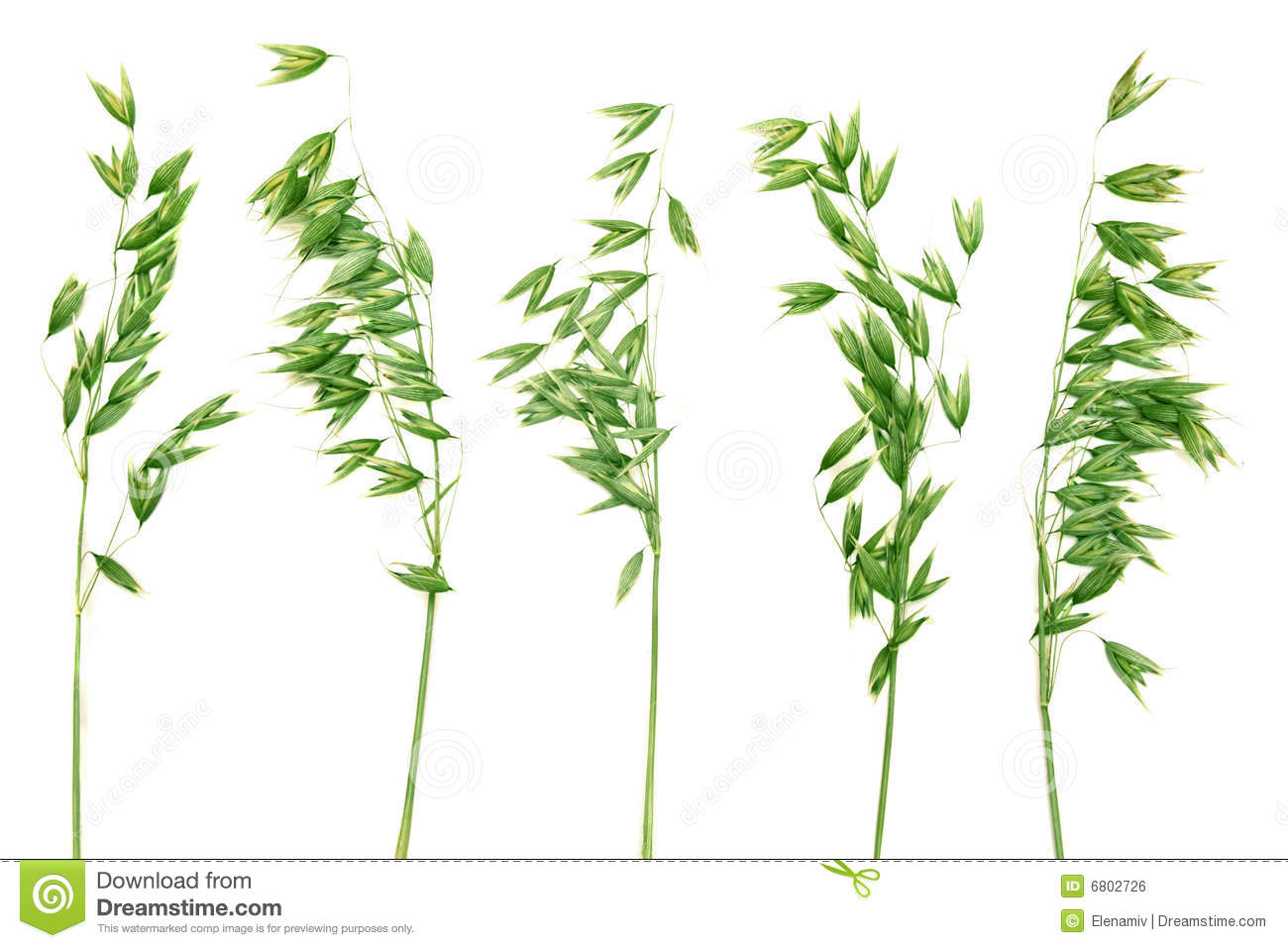 Green panicles of oat.