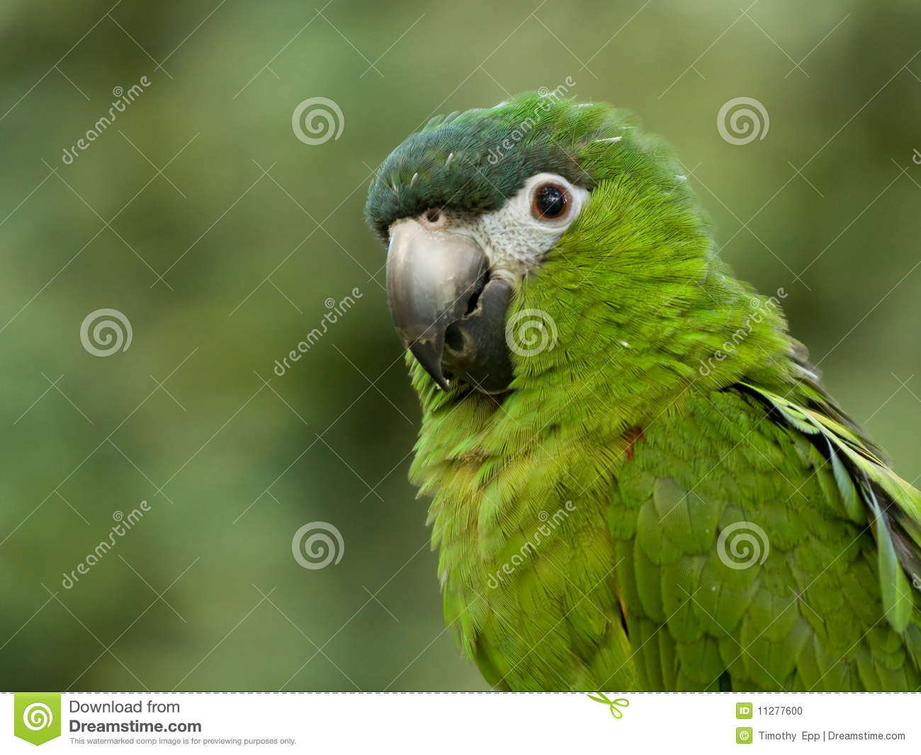 green parrot stock photo image 11277600