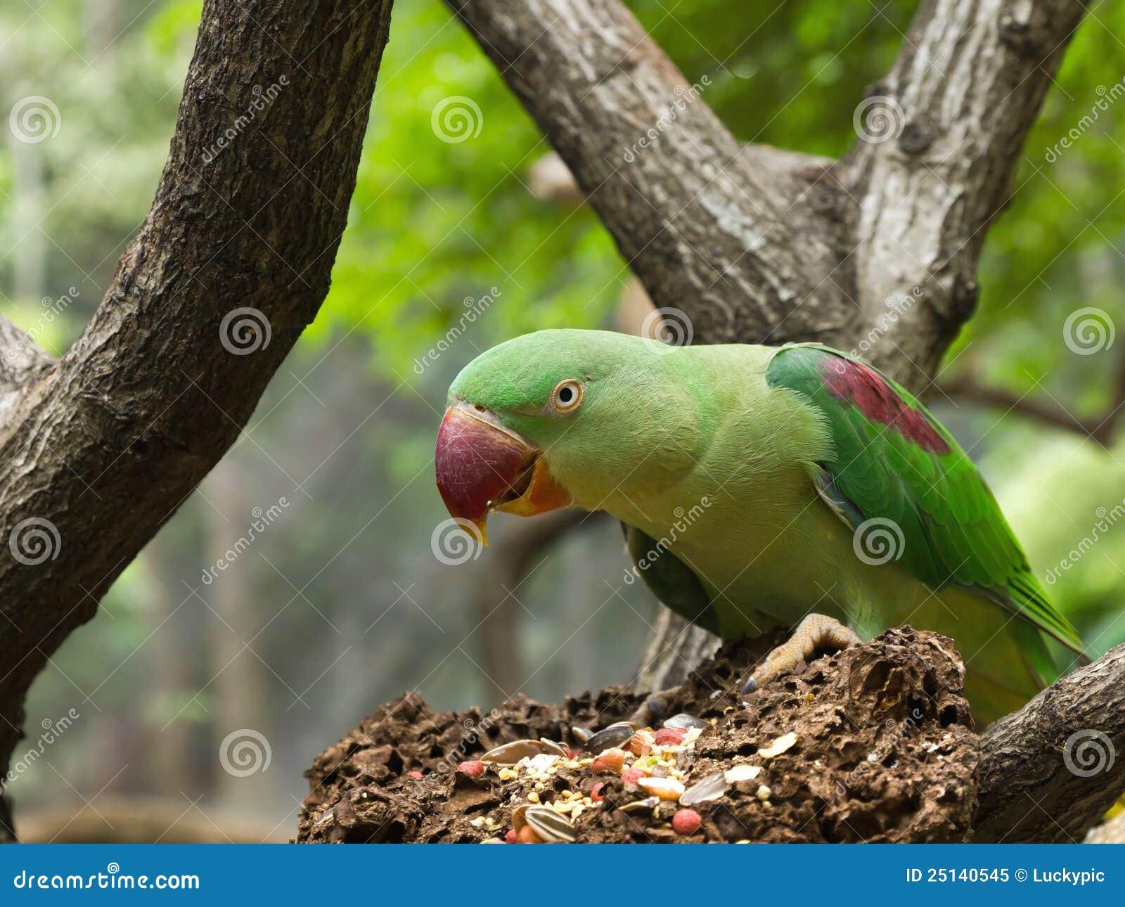 Green Parrot Bird Eating Grains Royalty Free Stock Photo