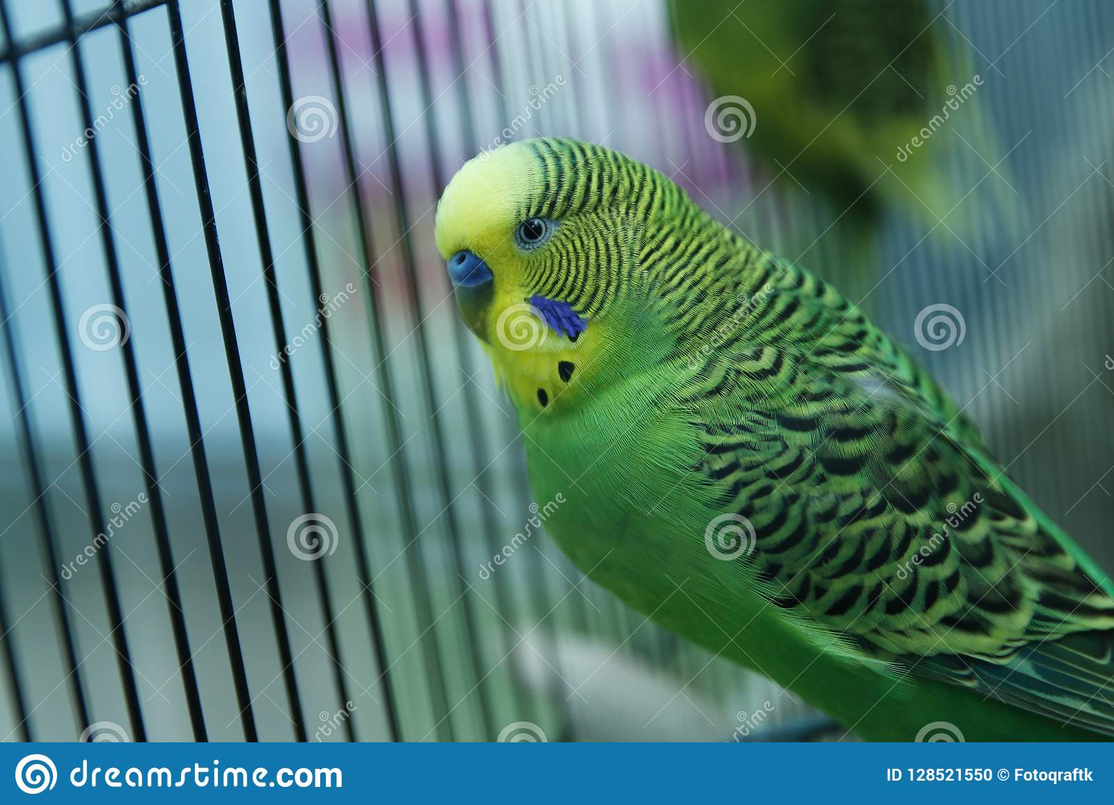 Parakeets Green Wavy Parrot Sits In A Cage Rosy Faced Lovebird Parrot In A Cage Birds Inseparable Budgerigar On The Cage