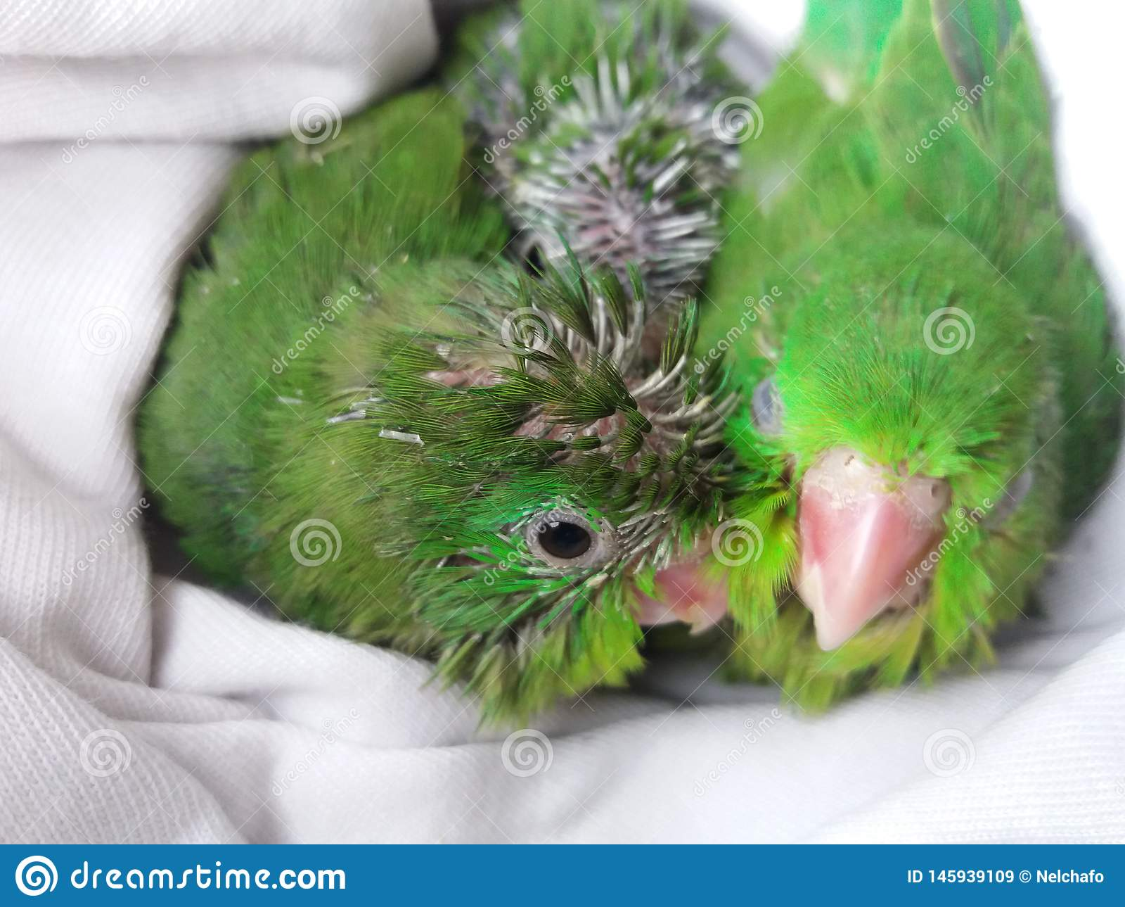 Green parrot chicks