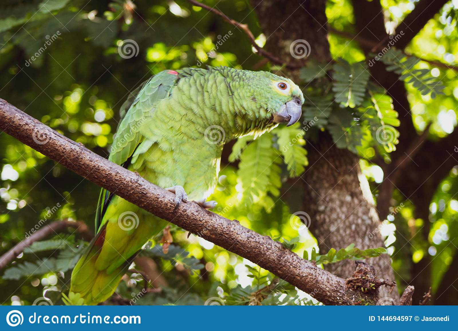Green parrot with light eyes on lime tree