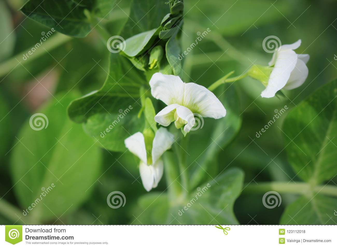 Green Pea Plant With White Flower In A Garden Stock Photo Image Of