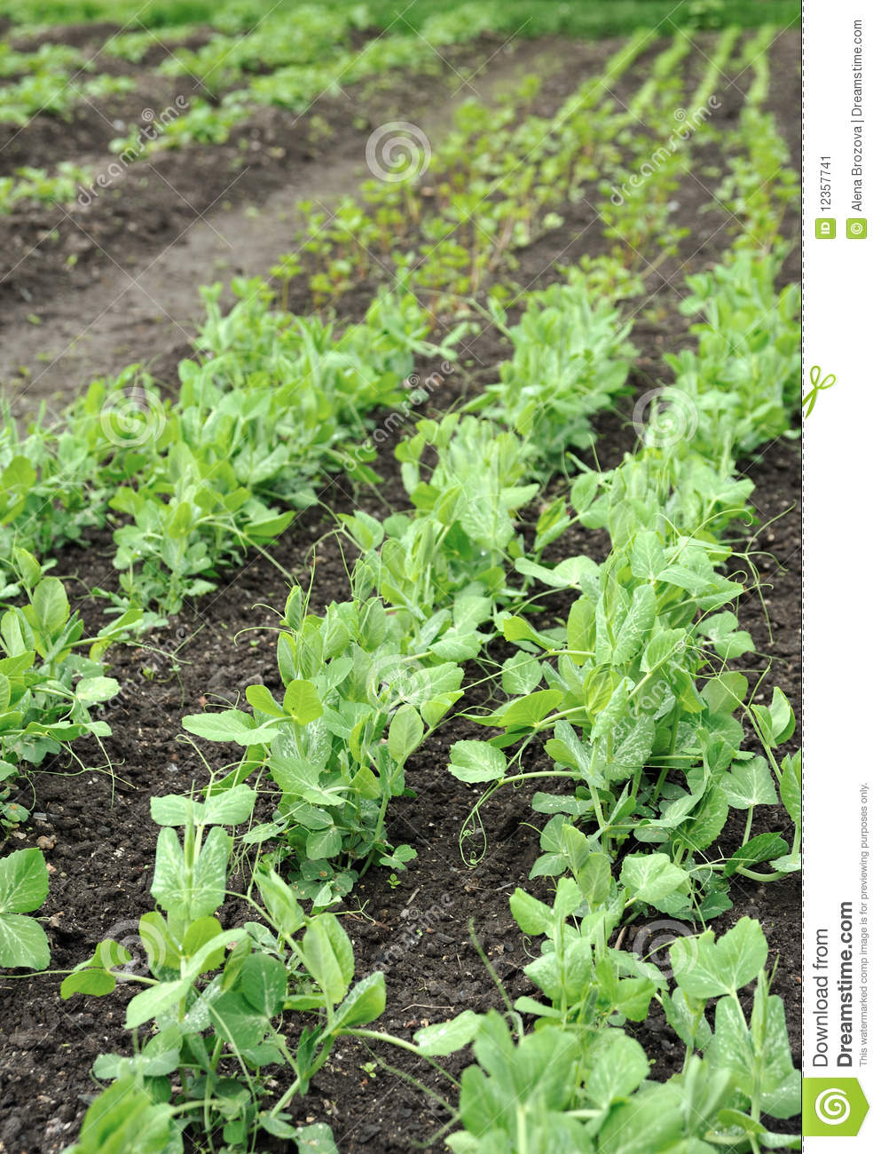 Green peas growing in planting bed stock image image for Green plants for flower beds