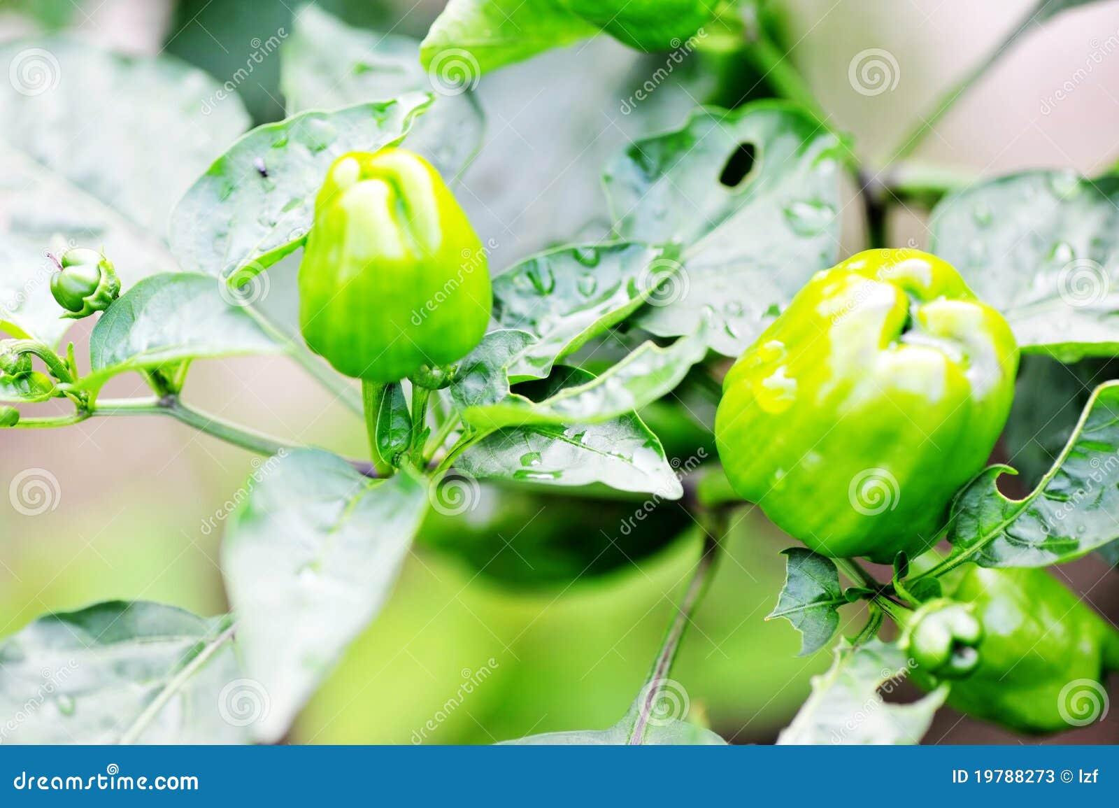 Green Pepper Tree Stock Photos - Image: 19788273