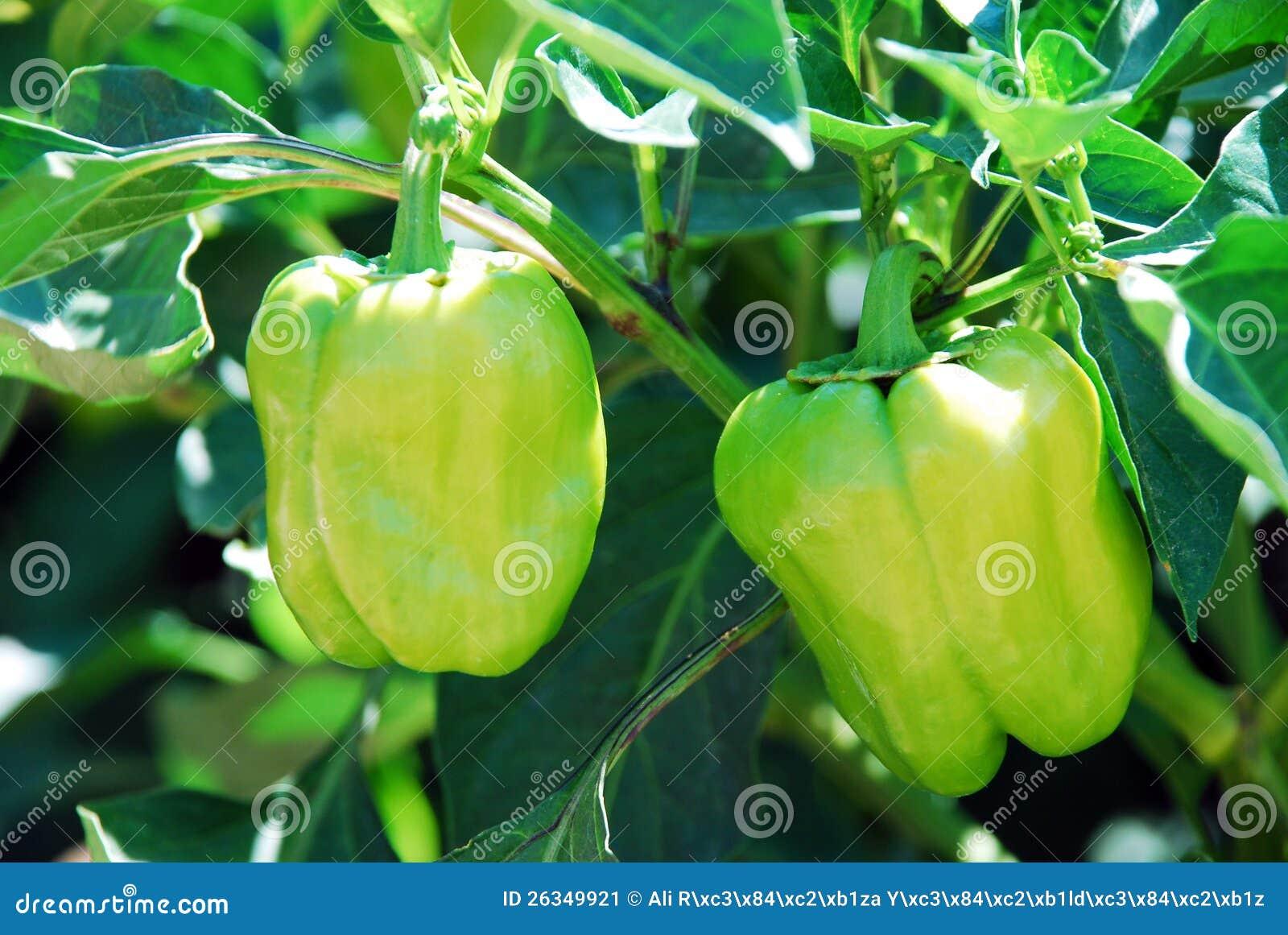 Green Pepper Tree Stock Image - Image: 26349921