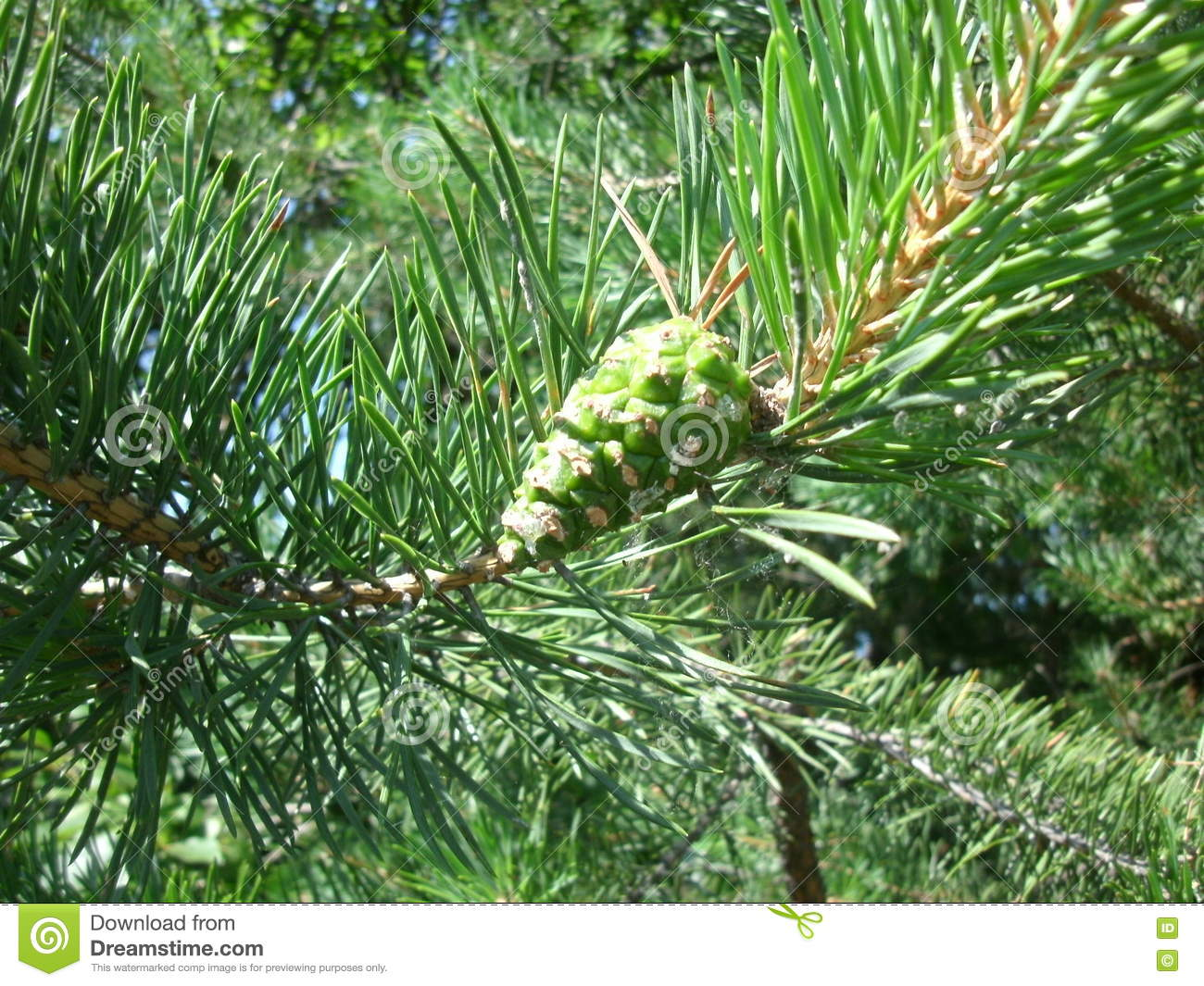 Green pine cone on a branch