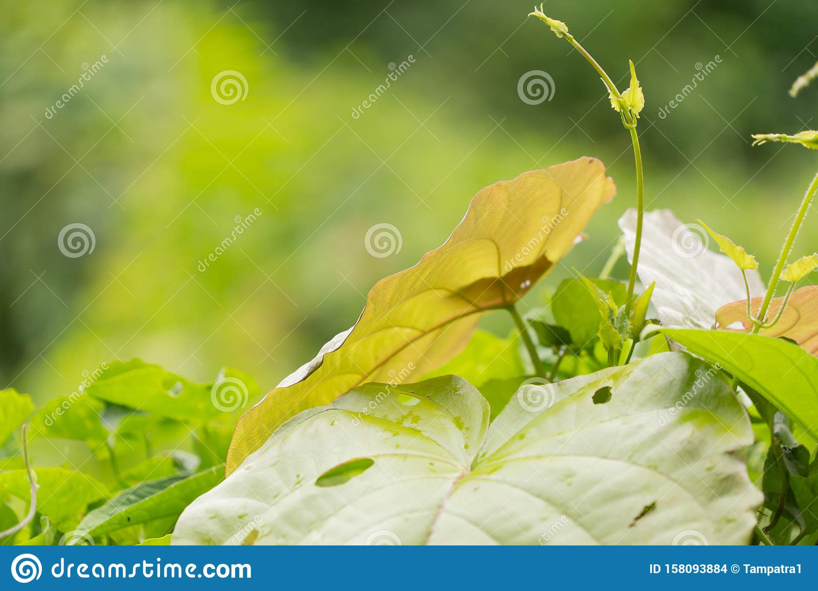 Green plant leaves with copy space in tropical forest in summer season, Thailand. Natural landscape background