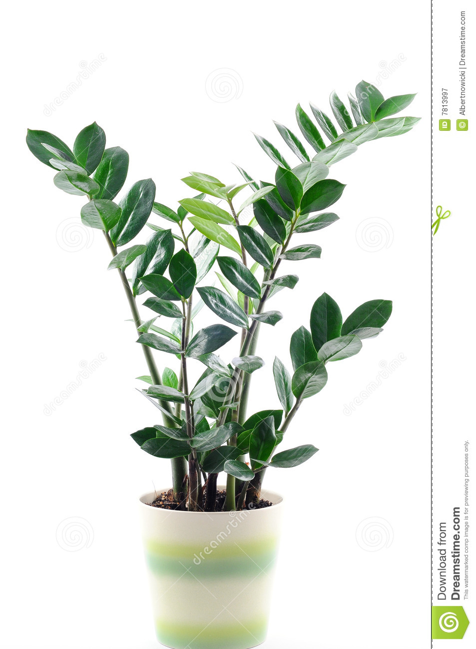 Green Plant In A Pot Isolated On White Stock Image Image