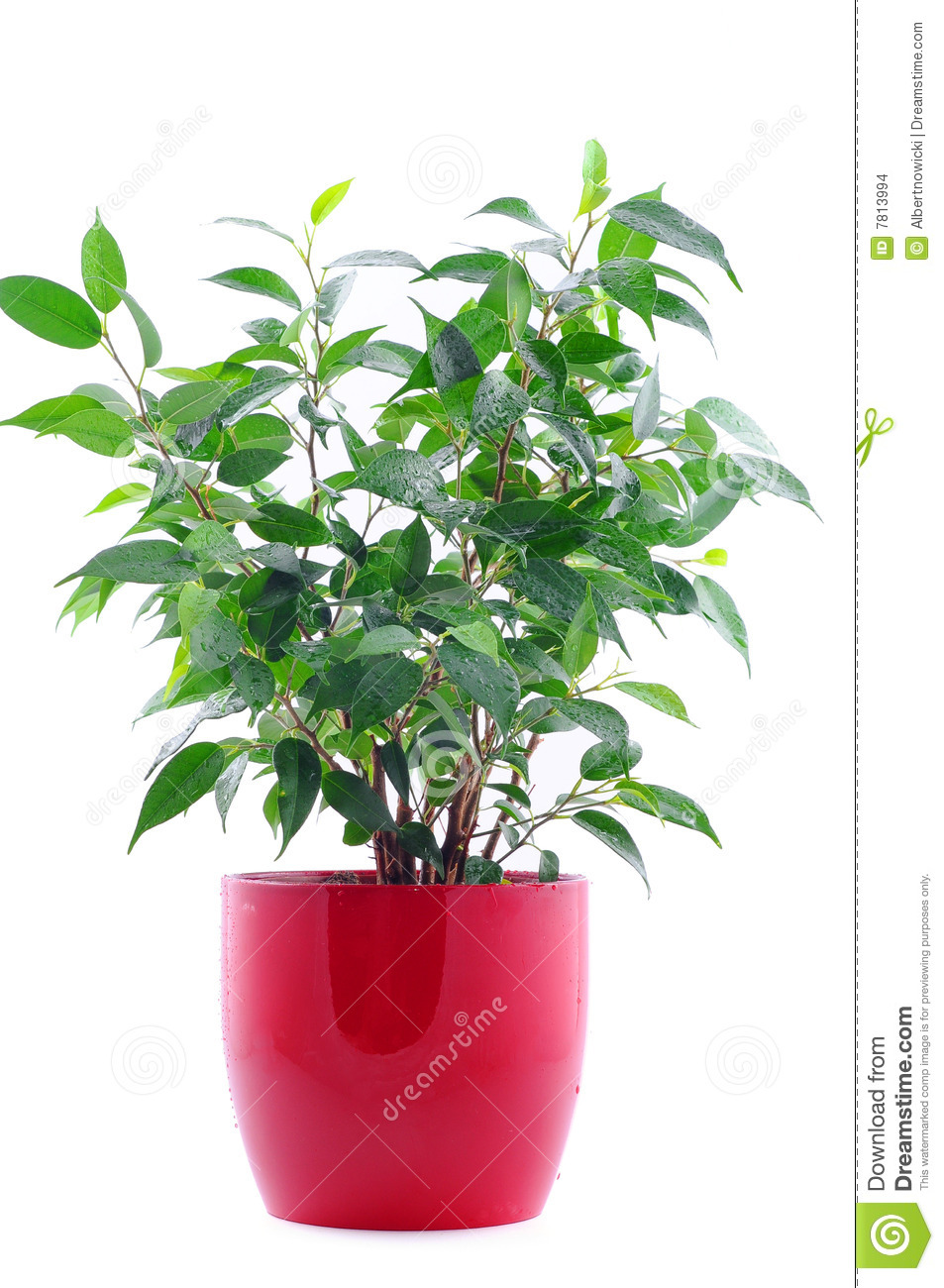 Green Plant In Red Pot Isolated On White Stock Images