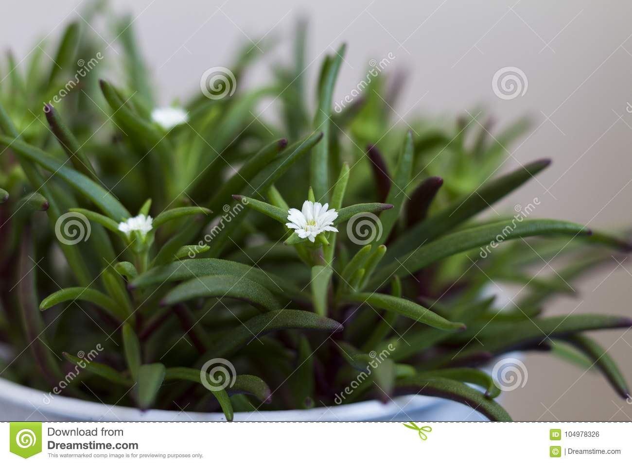 Green Plant With Small White Flowers In A Pot Close Up Stock Photo