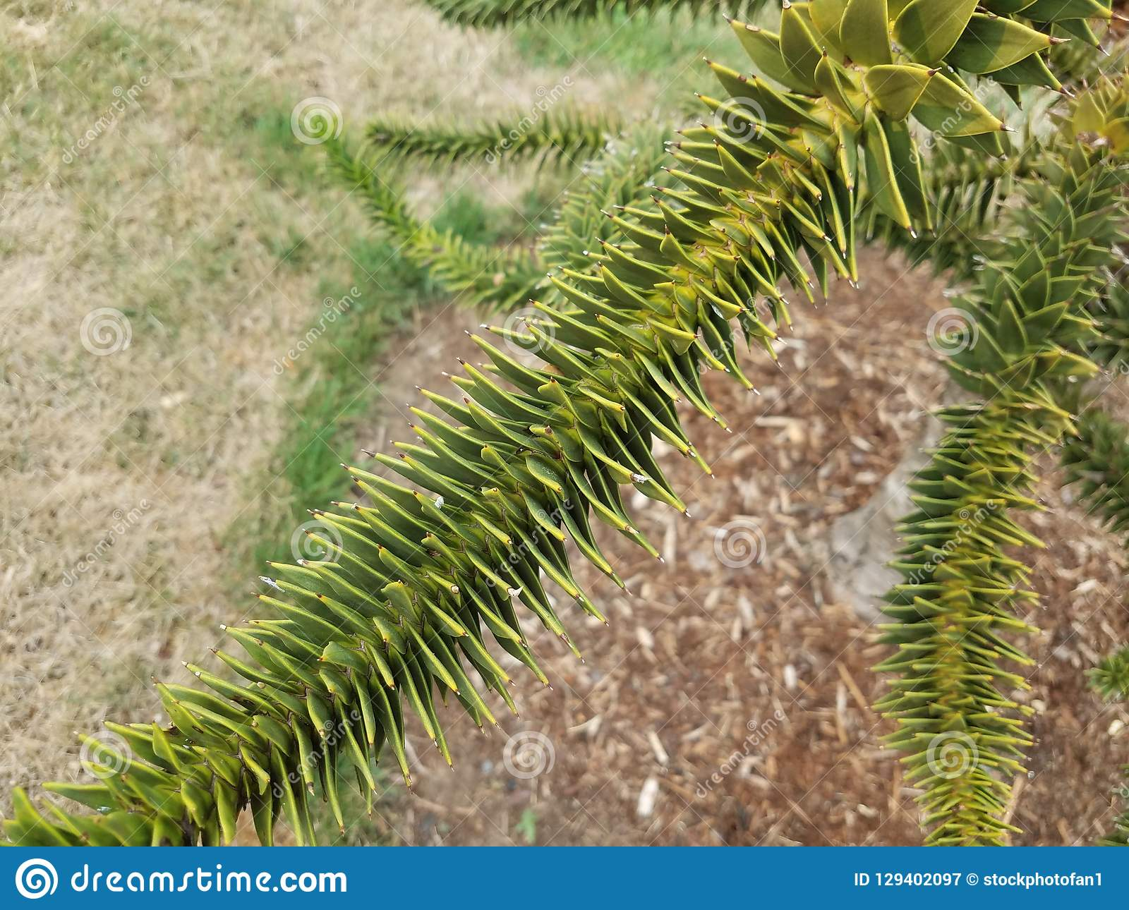 Green plant with spiky sharp leaves and brown mulch. A green plant with spiky sharp leaves and brown mulch royalty free stock photography