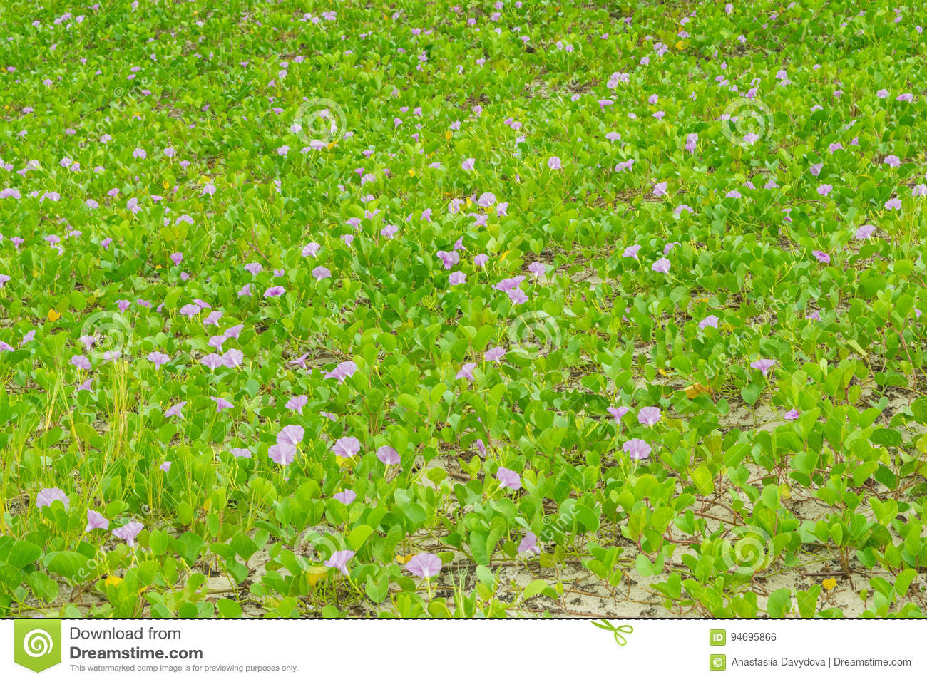 Green Plants On A Beach With Purple Flowers Ipomoea Stock Photo