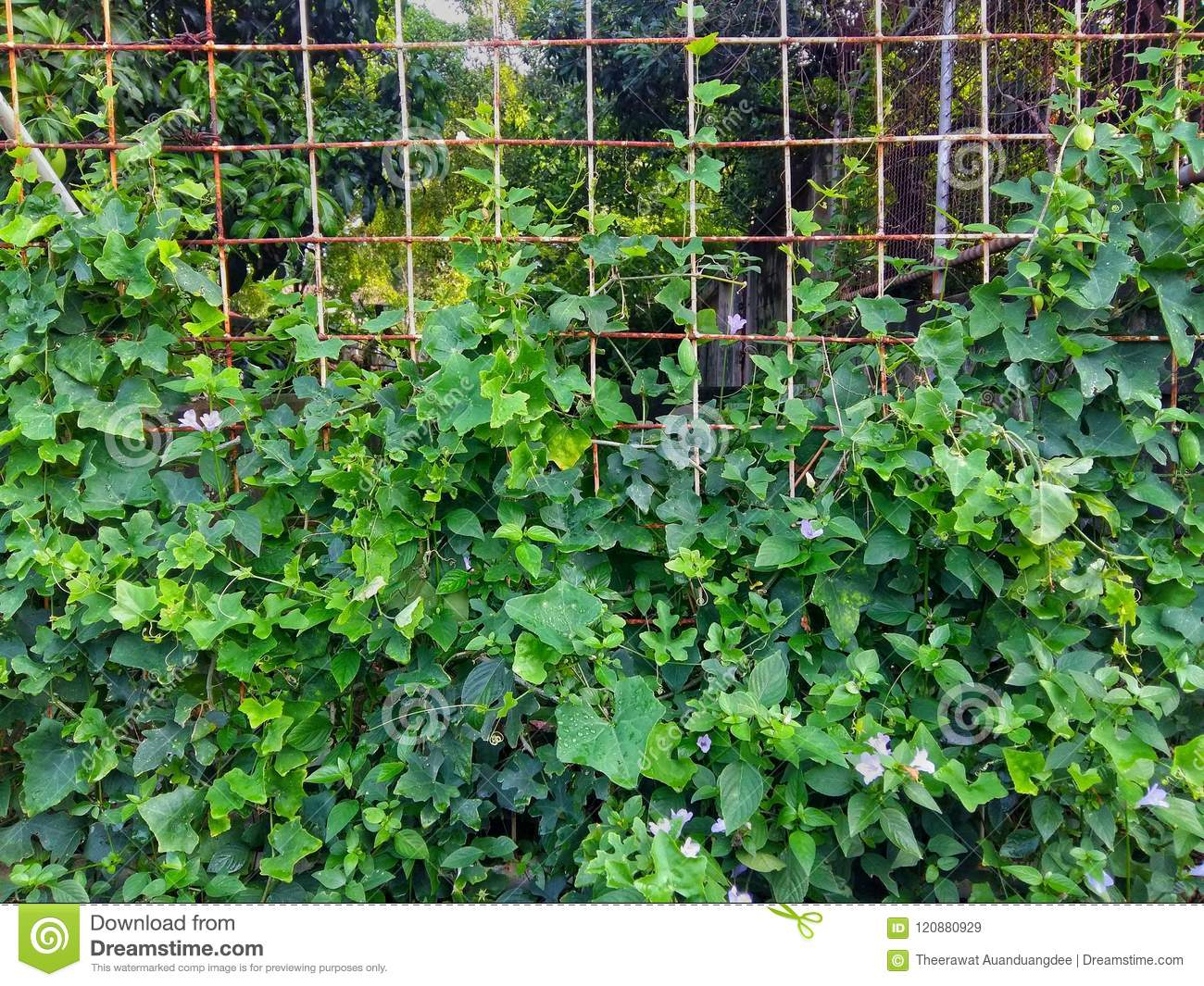 Green Plants Grow Alongside The Iron Fence Stock Image Image Of