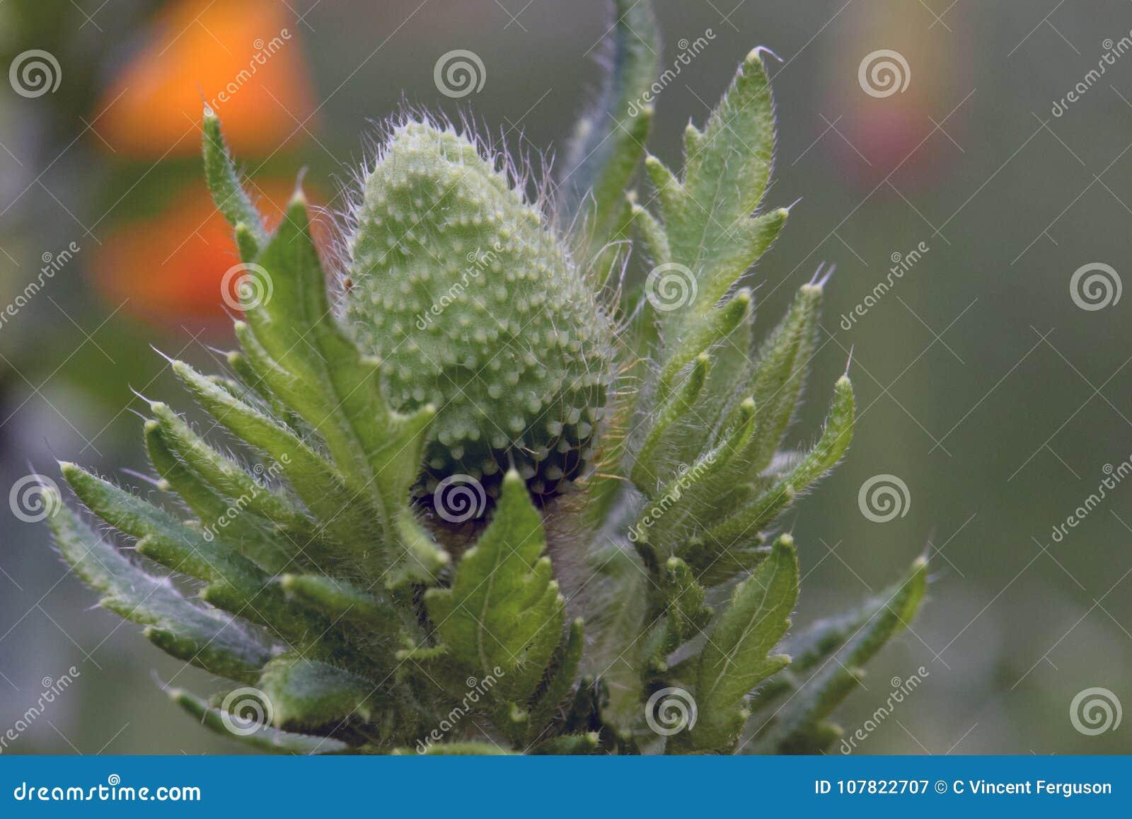 Green Poppy Pod In Leaves Stock Image Image Of Green 107822707