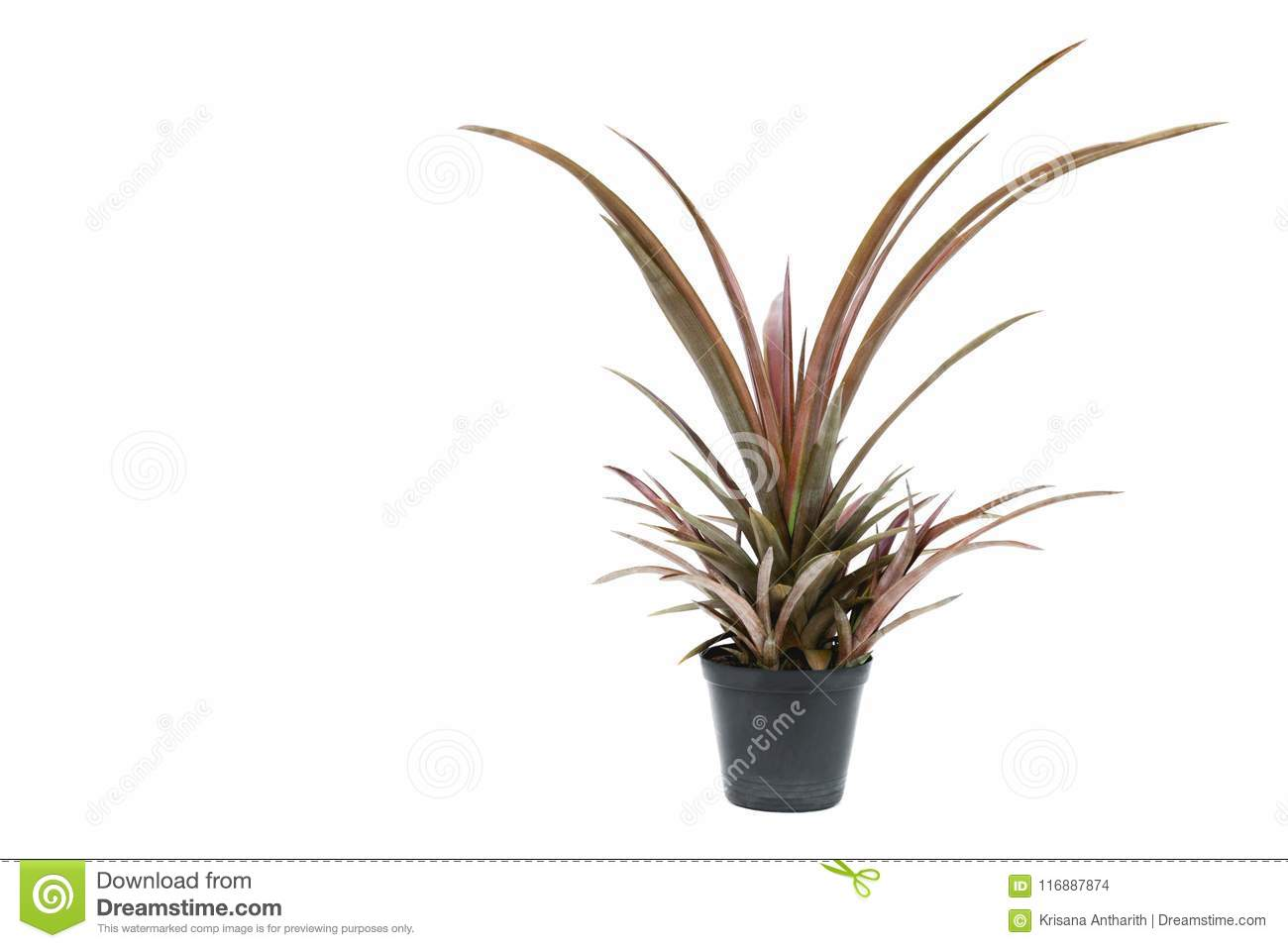 Green potted plant, trees in the cement pot isolated on white ba