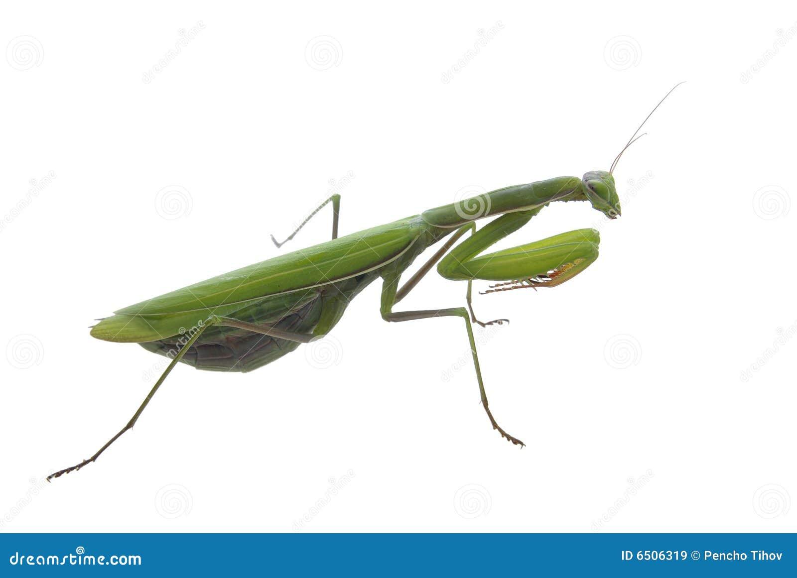 Praying Mantis Anatomy