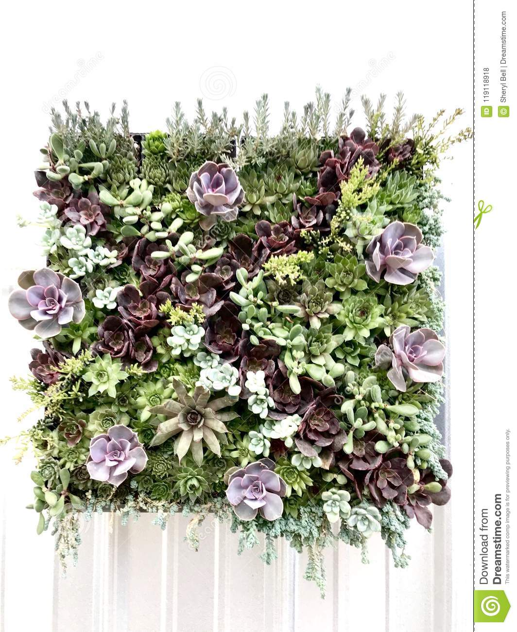 Download Living Wall Of Succulents Stock Photo. Image Of Wall   119118918