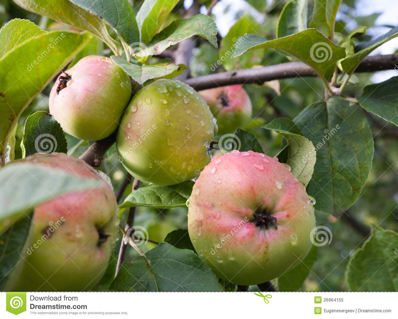 Green-red Apples On The Apple Tree Branch Royalty Free ...
