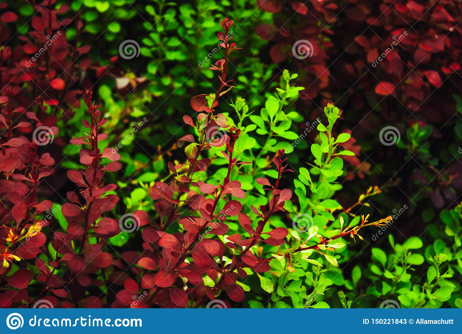 Green and red foliage