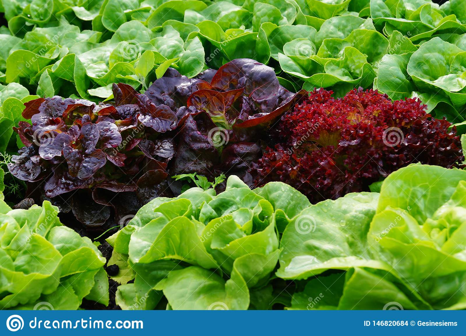 Green and red fresh leaf Lettuce