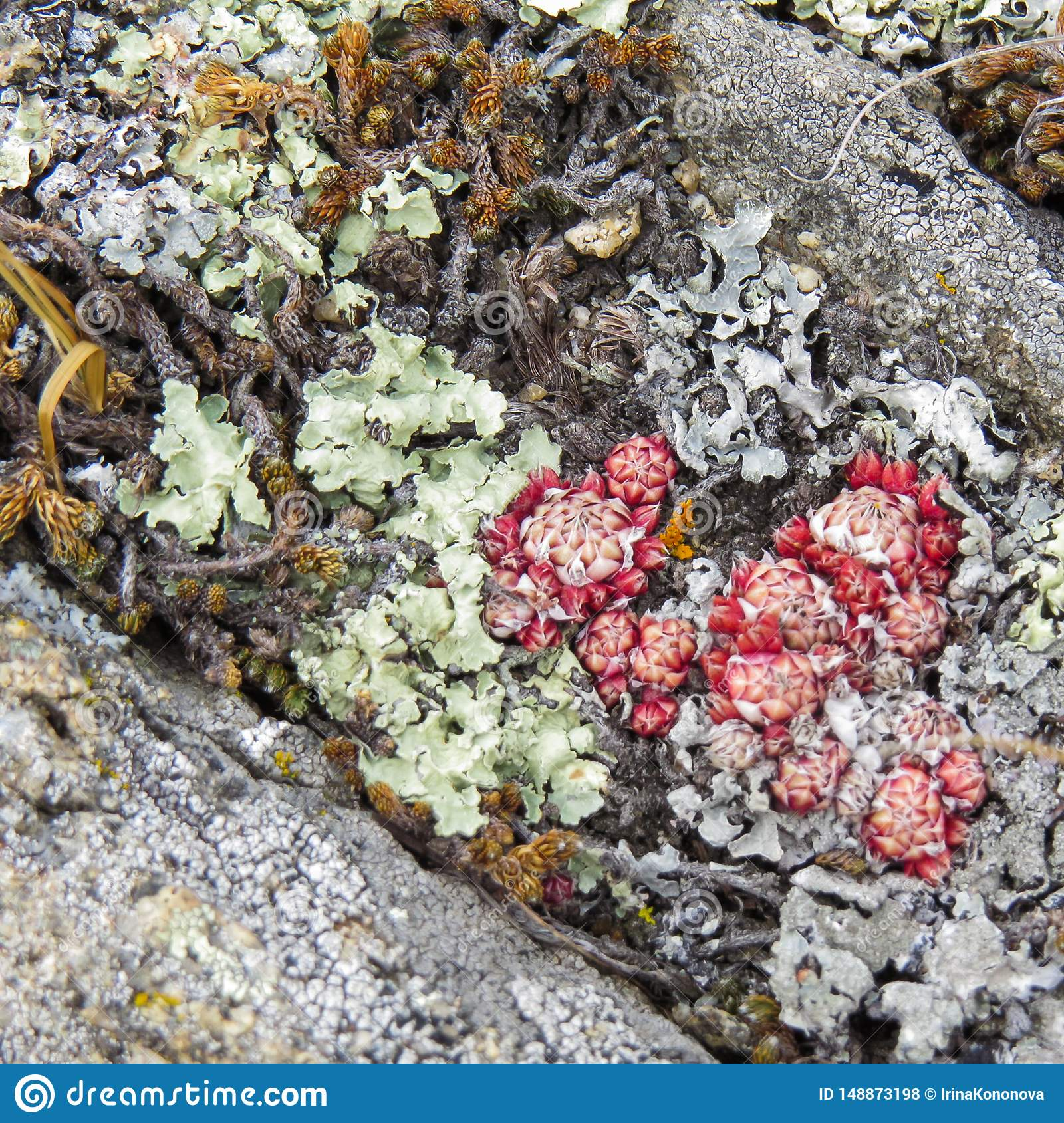Green, red, yellow, gray lichens among the stones