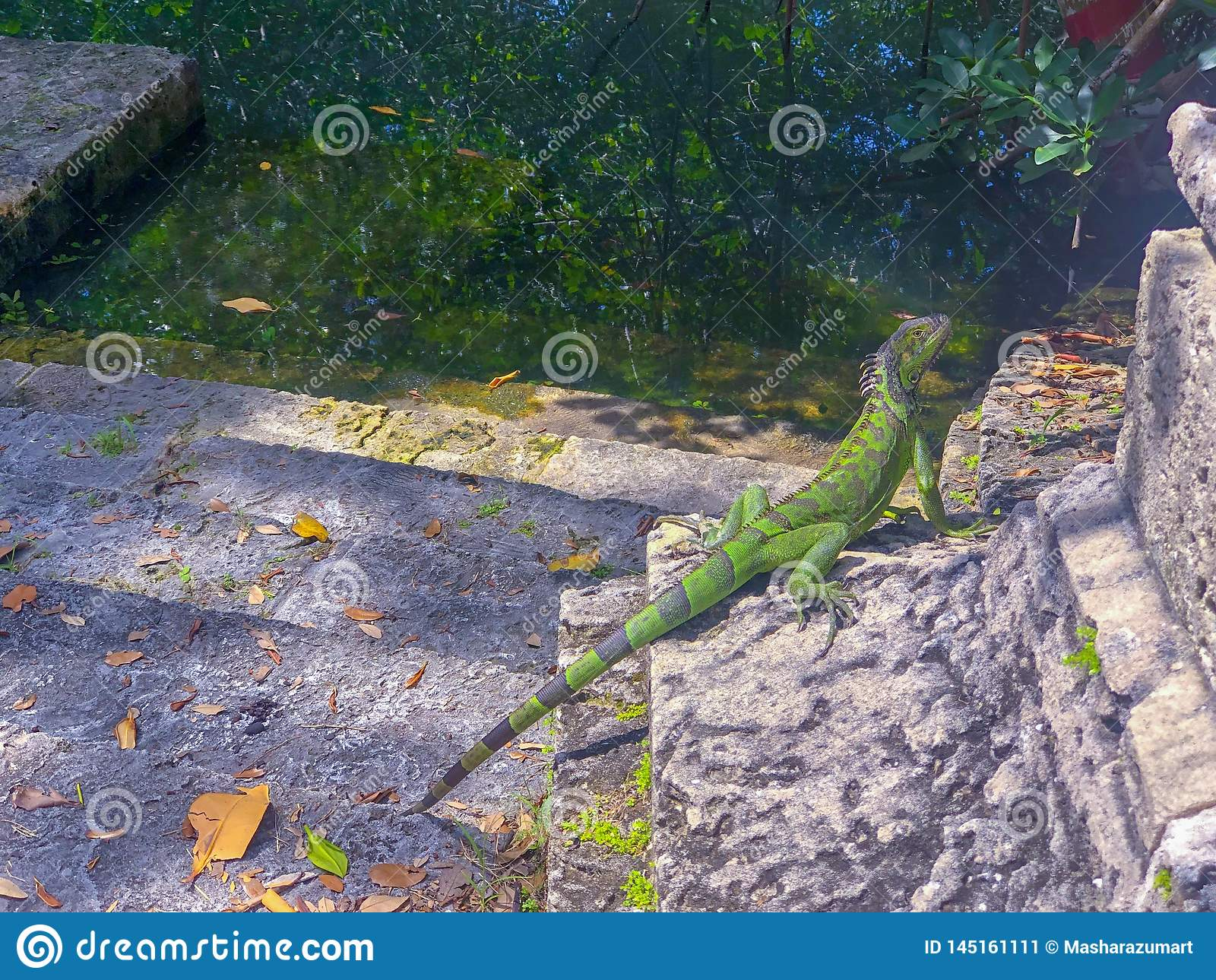 Green reptile basking in the sun